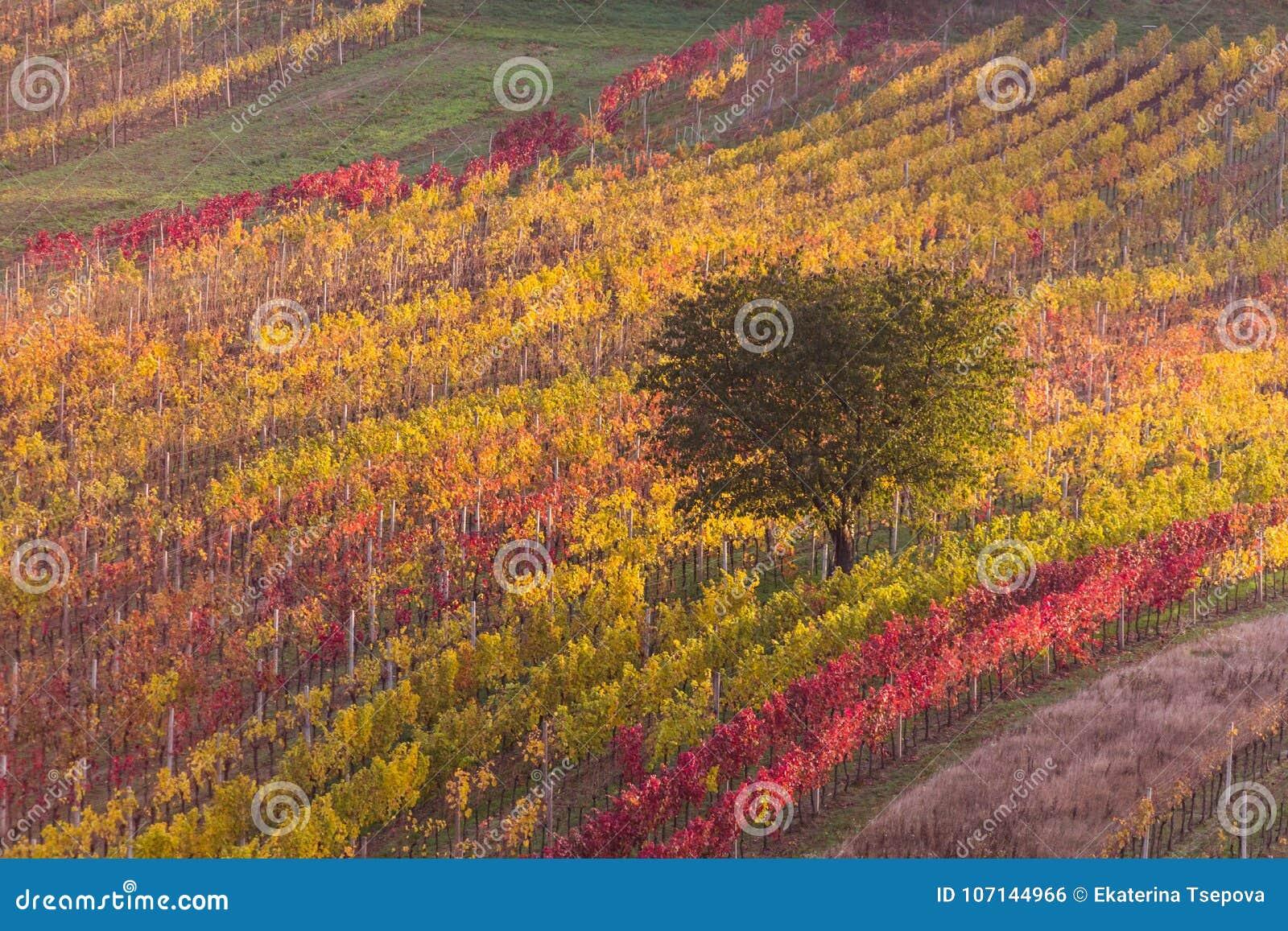 Moravian autumn vineyards