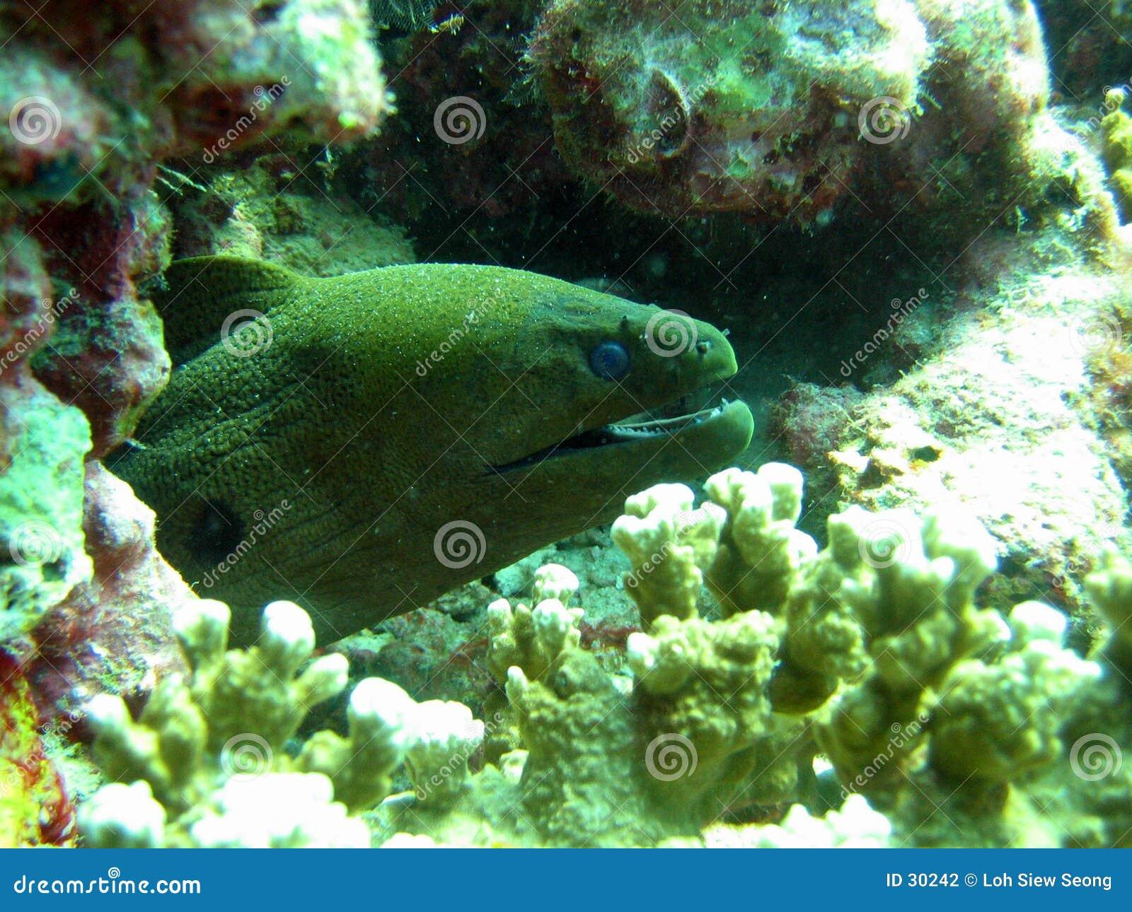Moray гиганта eel