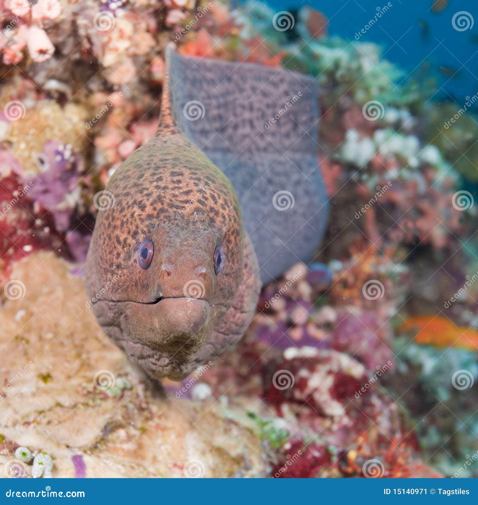 Download Moray stockbild. Bild von moray, unter, gefahr, farben - 15140971