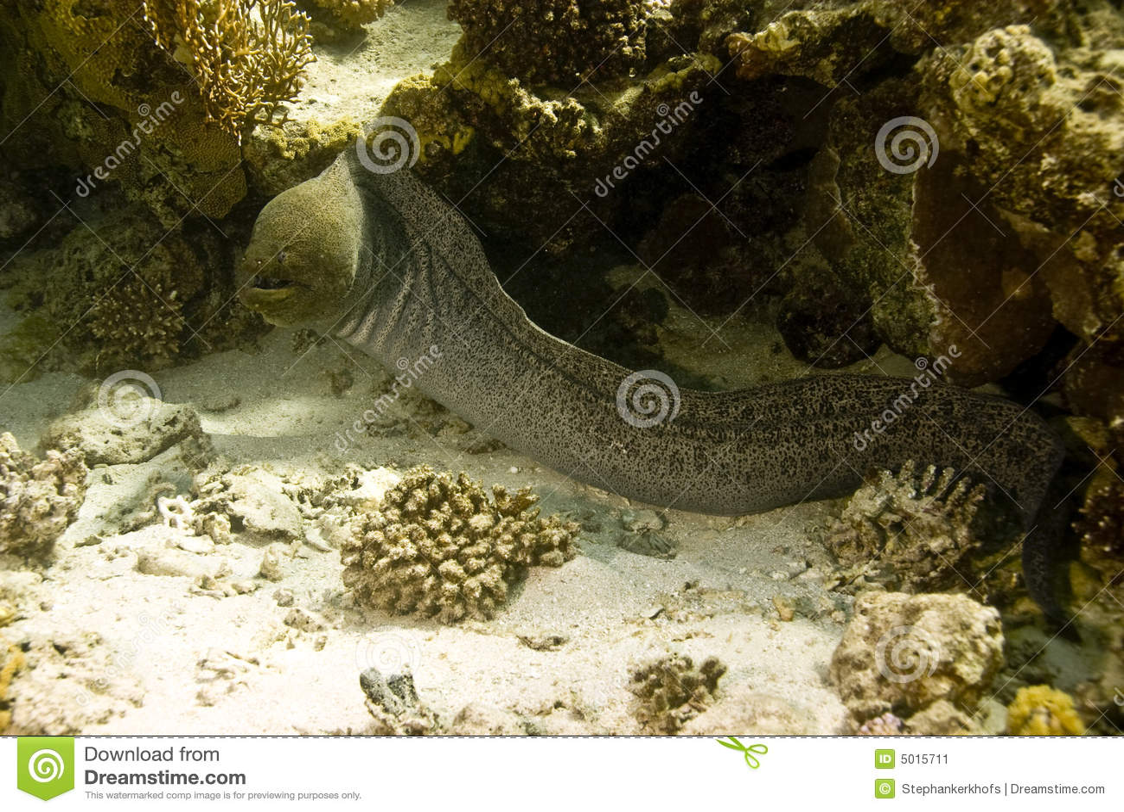 Moray gigante (javanicus do gymnothorax)