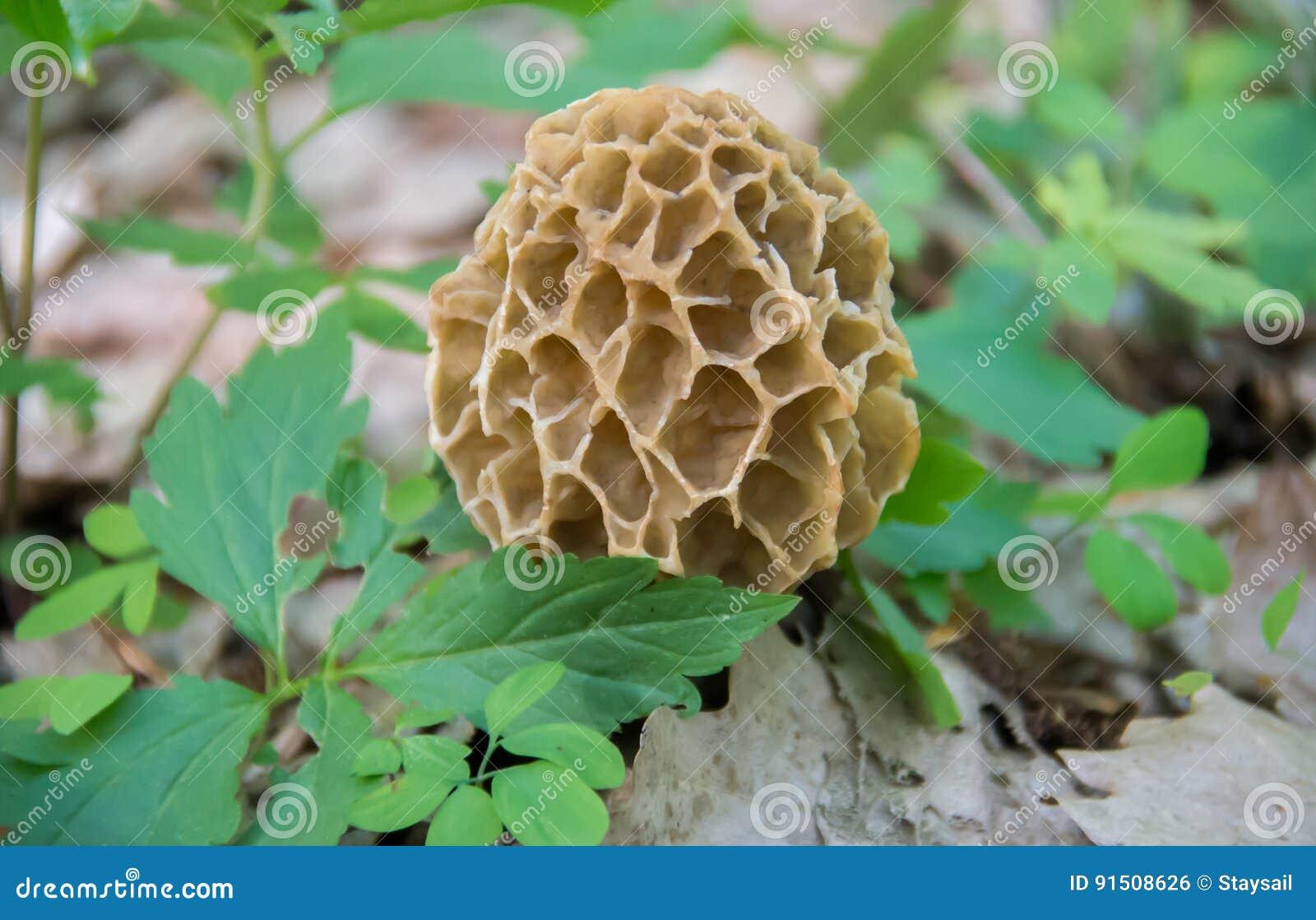 Morchella selvagem do cogumelo do Morel da mola esculenta delicacy