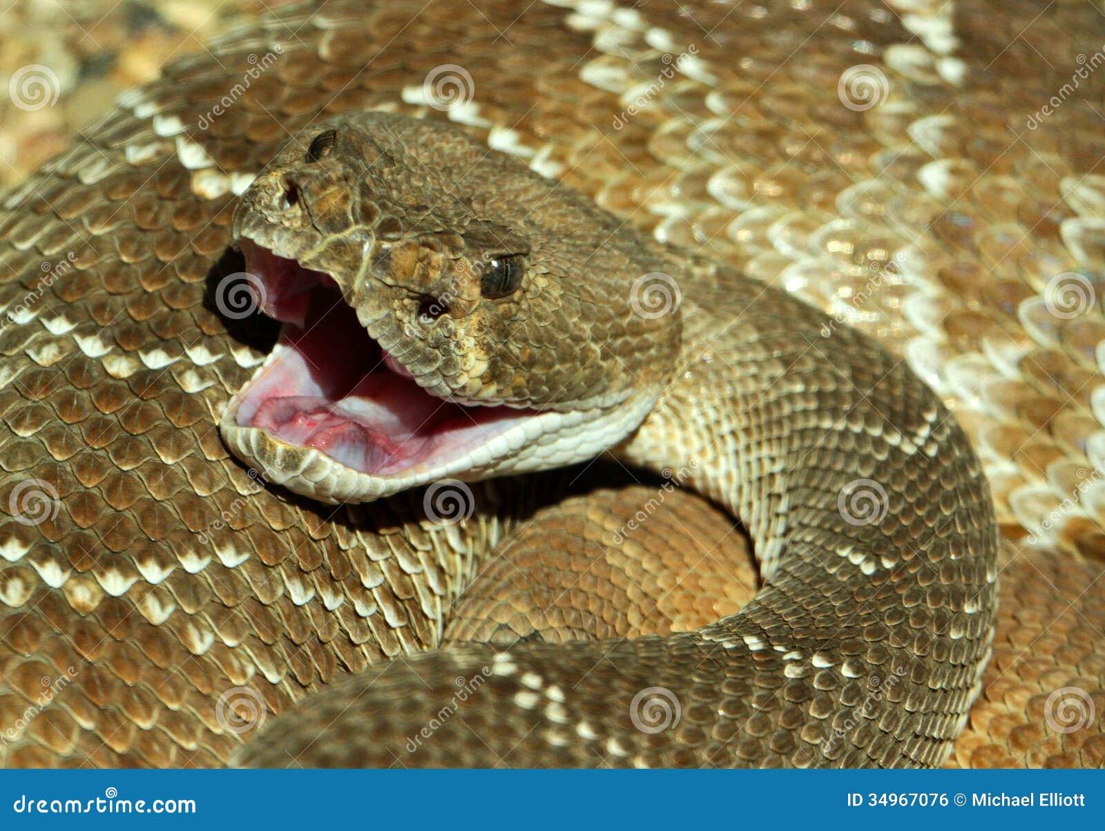 Mordedura De La Serpiente De Cascabel Stock Photos - 142 Images