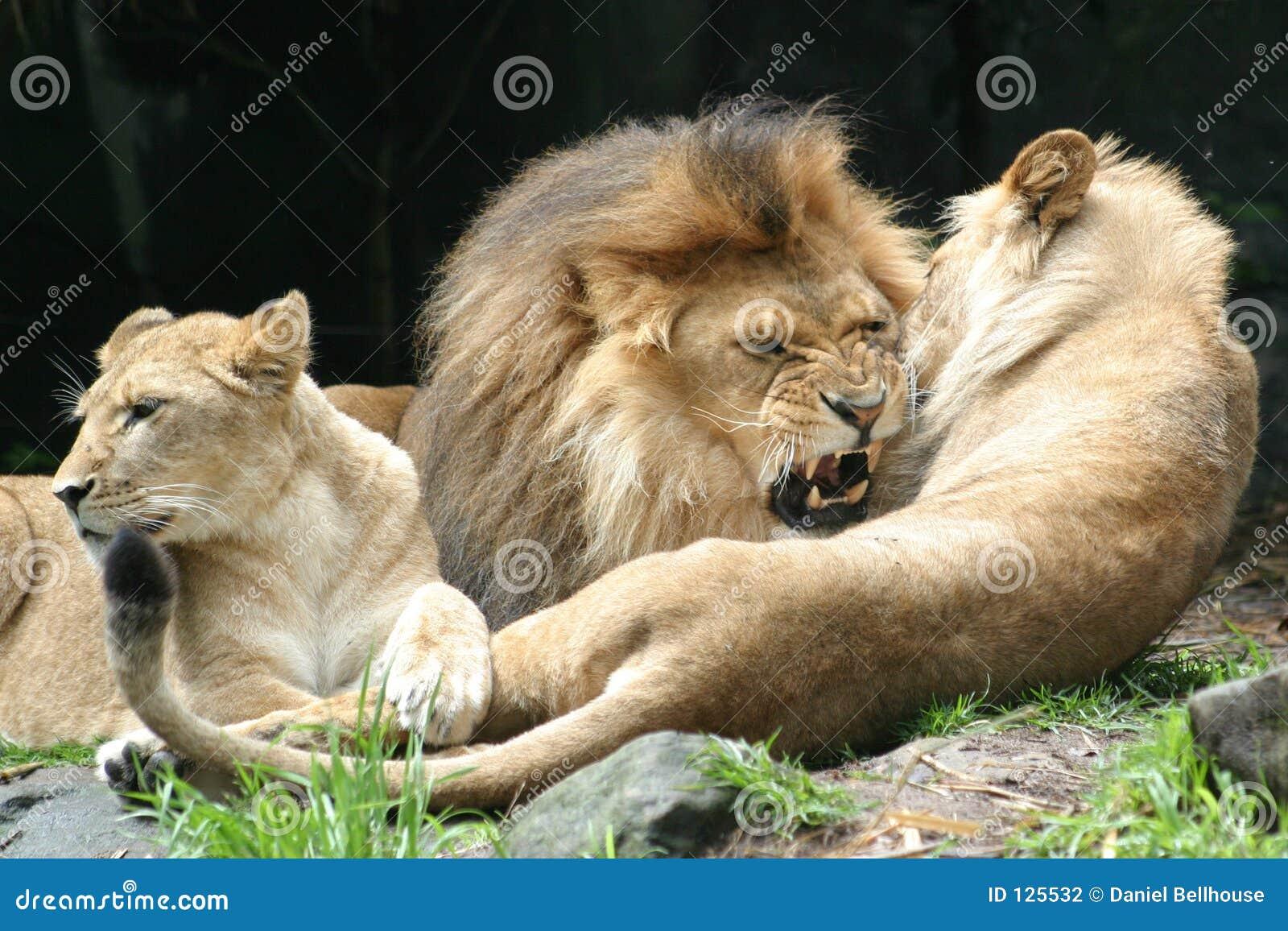 Mordida do leão