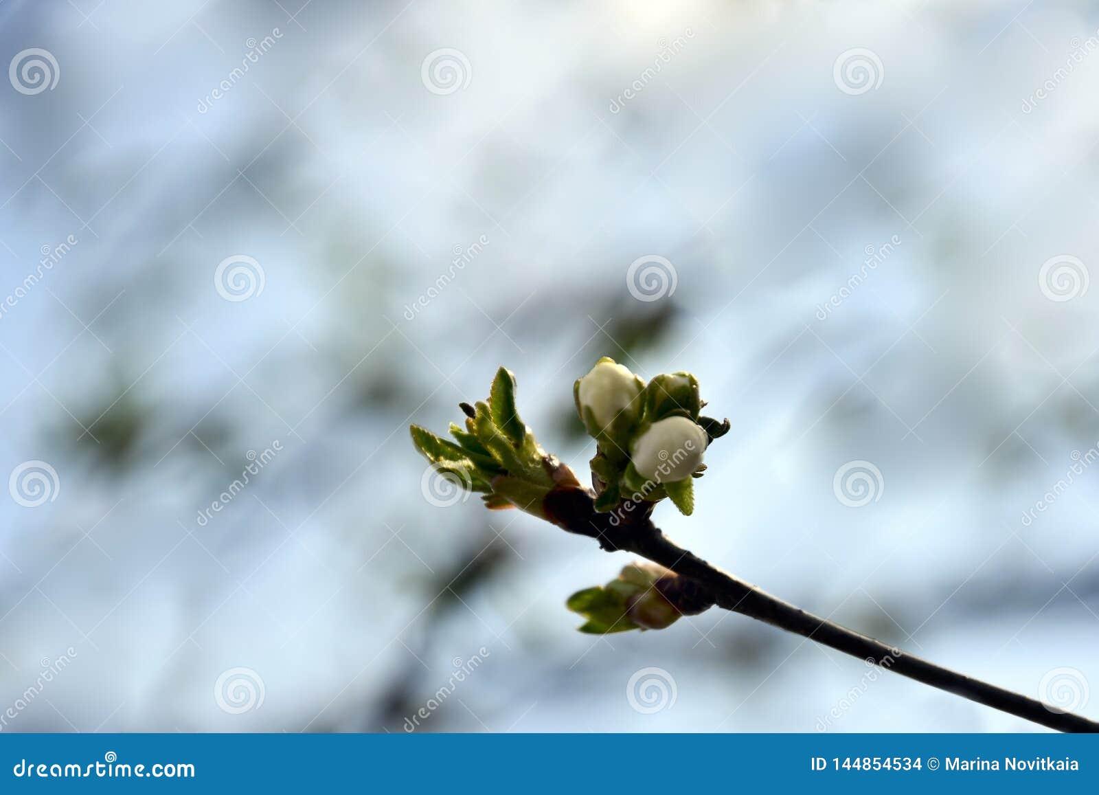 Moreli kwitnienia gałąź w ogródzie
