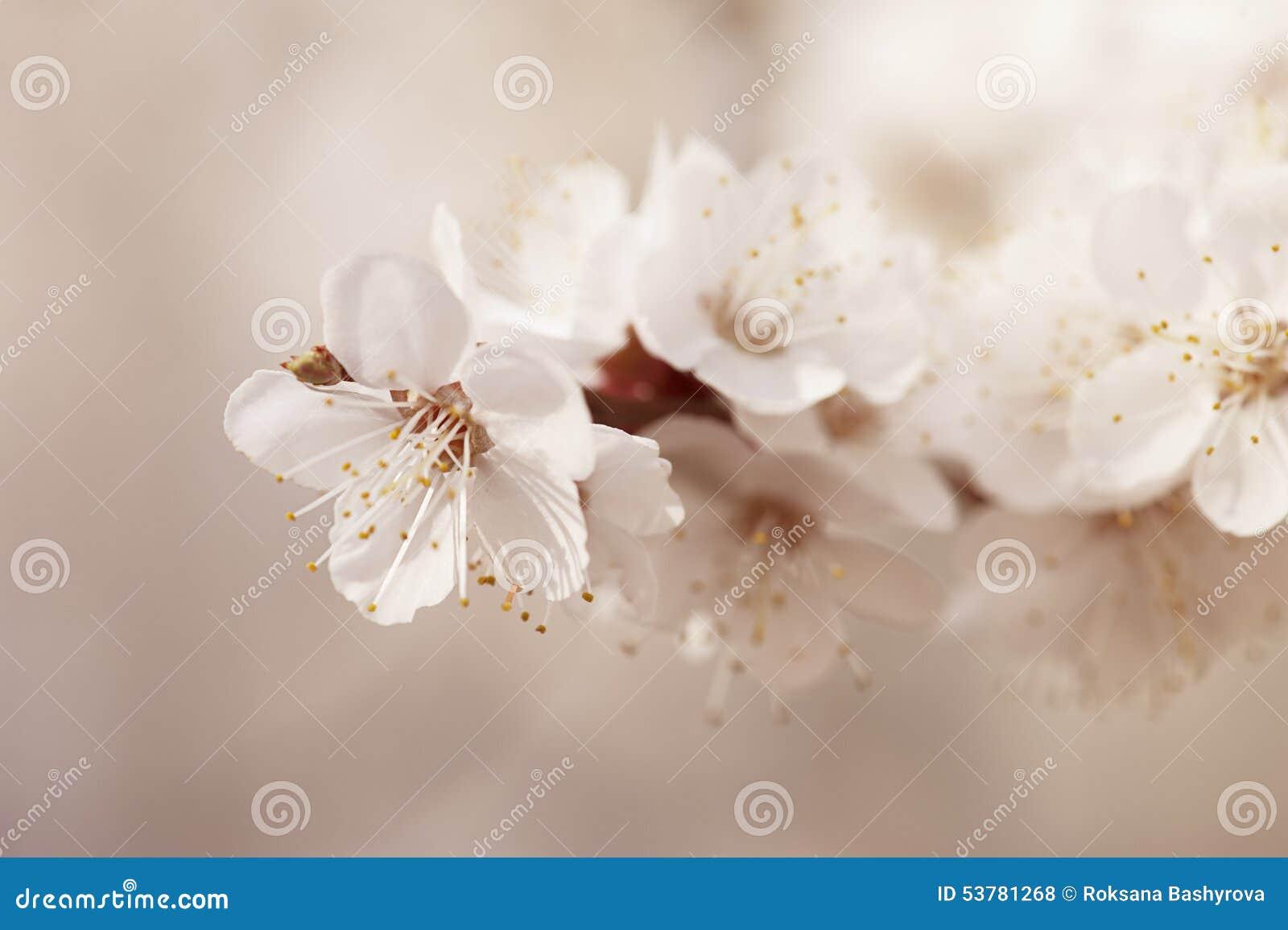 Morelowego drzewa kwiat