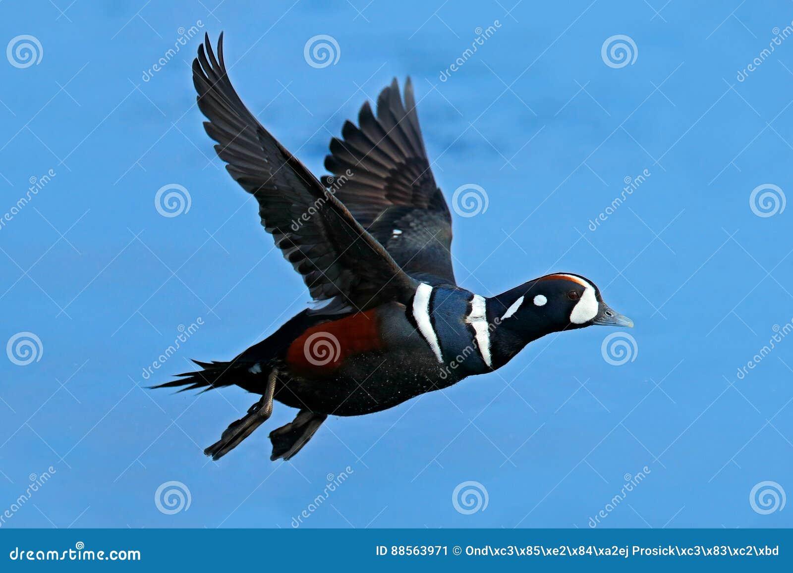 Moretta arlecchino, histrionicus di Histrionicus, uccello in mosca Bei uccelli di mare che volano sopra l acqua di mare blu scuro