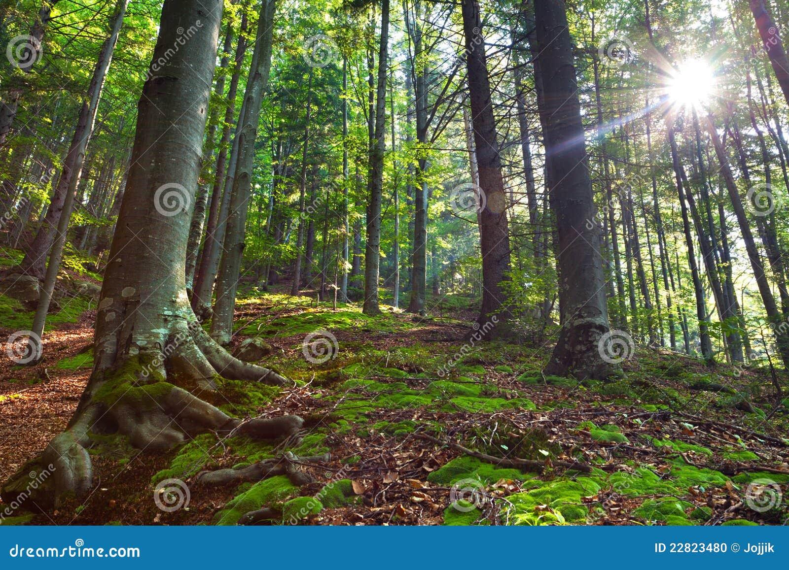 Morgen im mystischen Holz