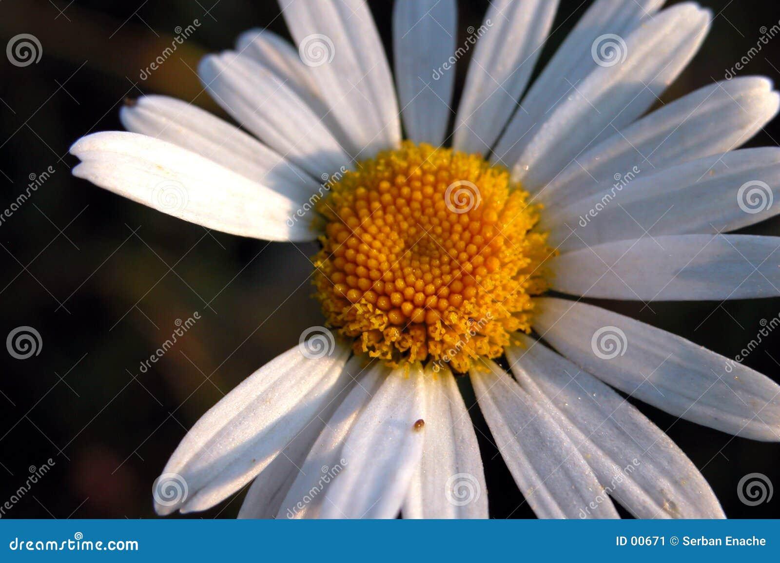 Morgengänseblümchen