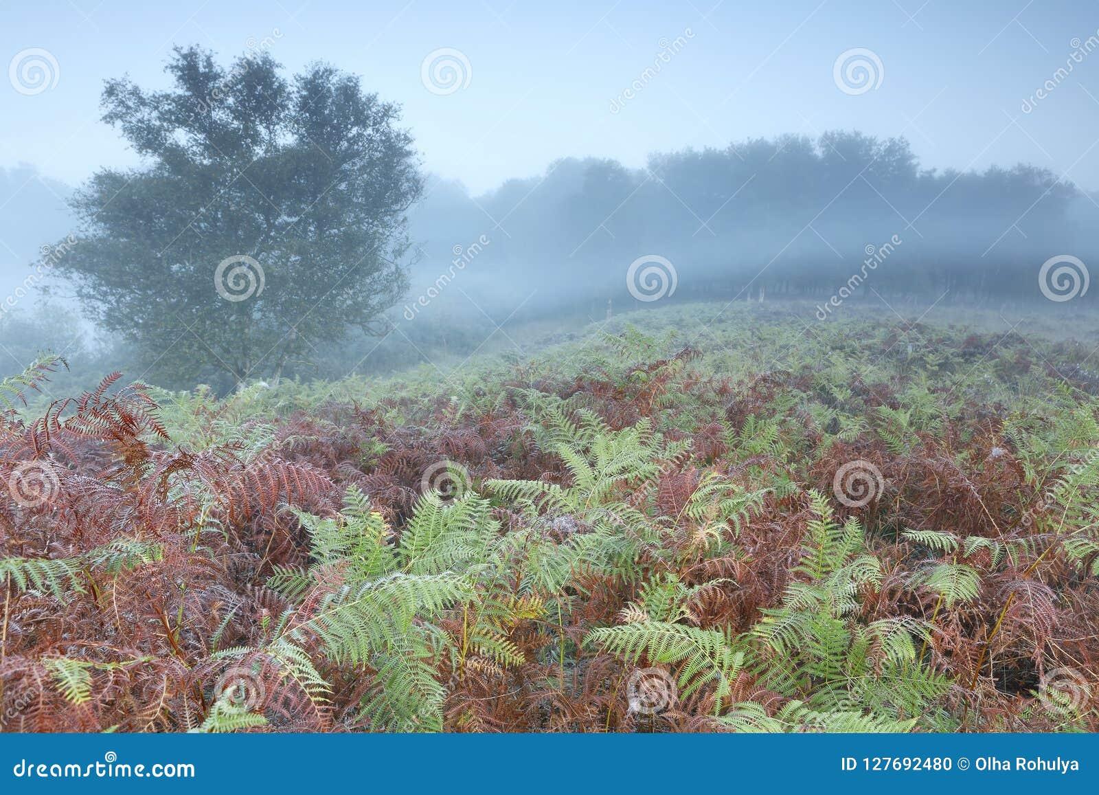 Morgennebel über Hügel mit Farn
