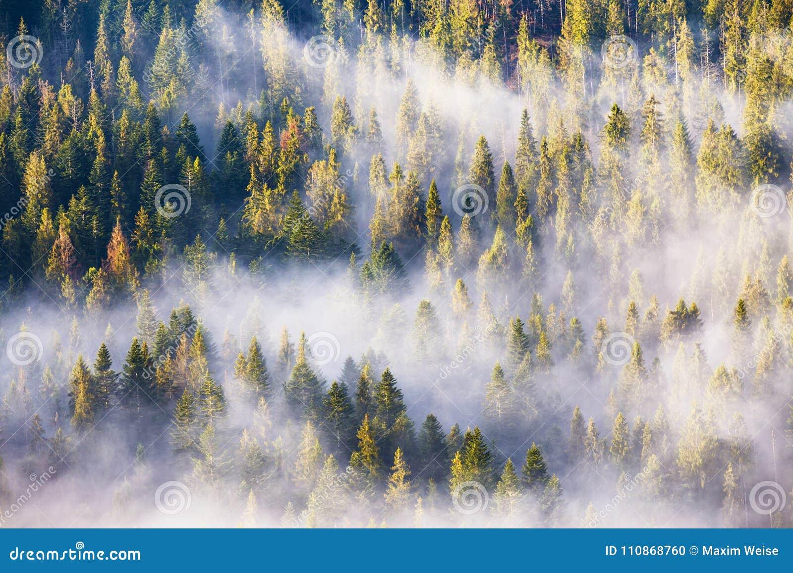 Morgennebel im Fichten- und Tannenwald im warmen Sonnenlicht