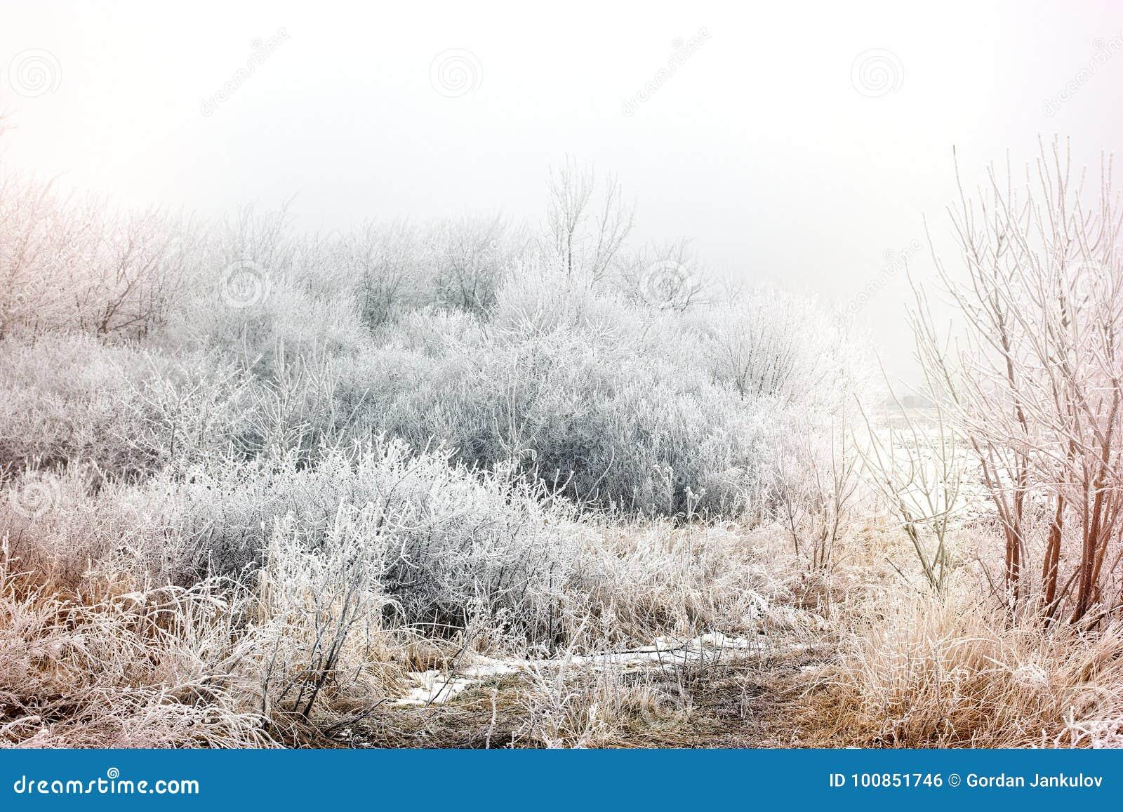 Morgonmistdimma och rimfrost - hoar på trädet och busken, vinterlandskap
