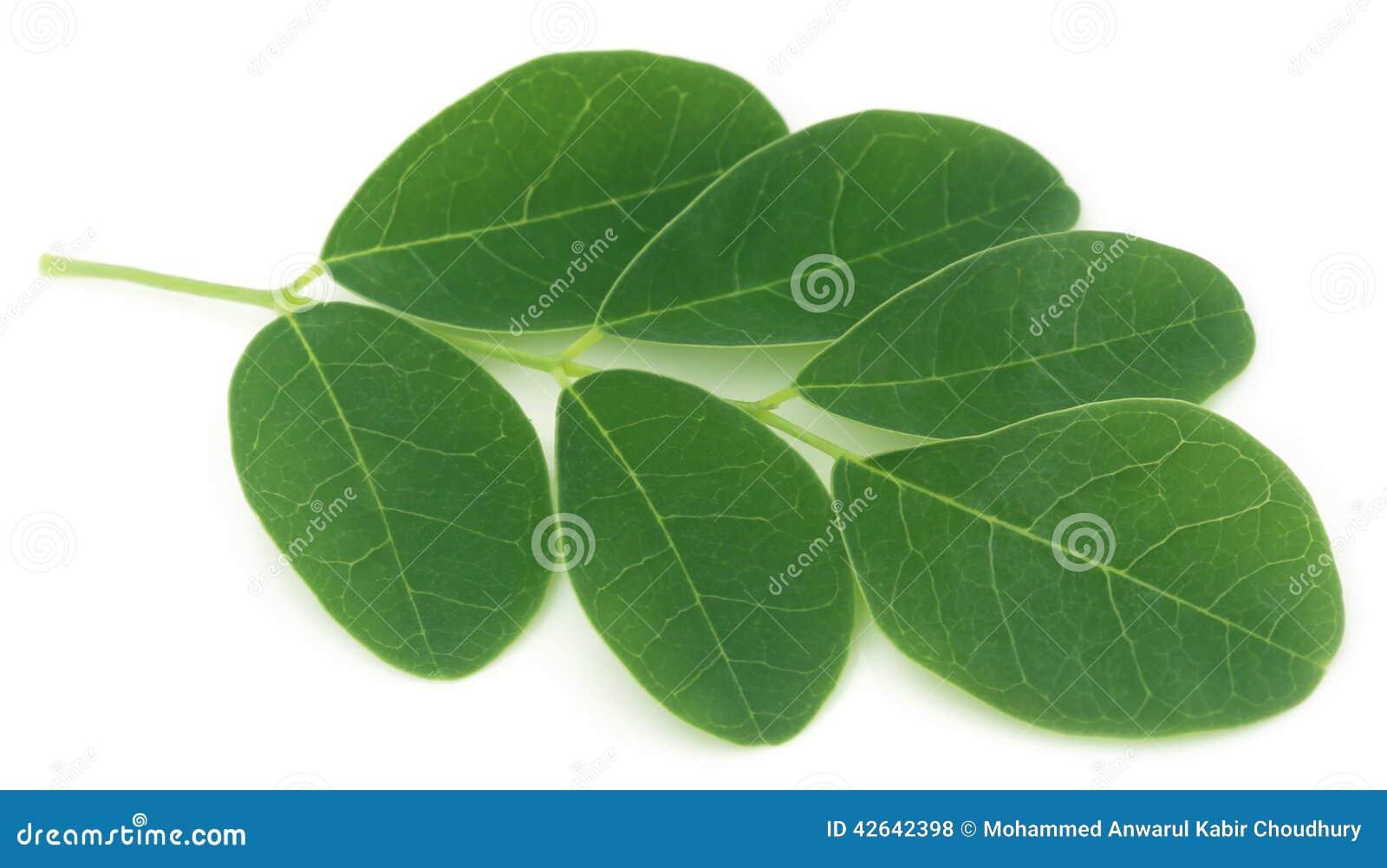 Moringa bladeren