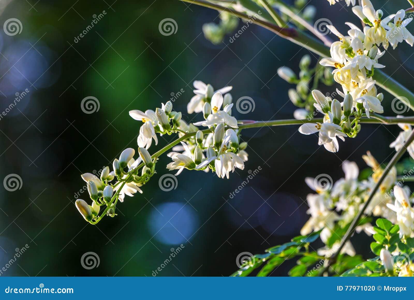 Moringa Bloem op boom