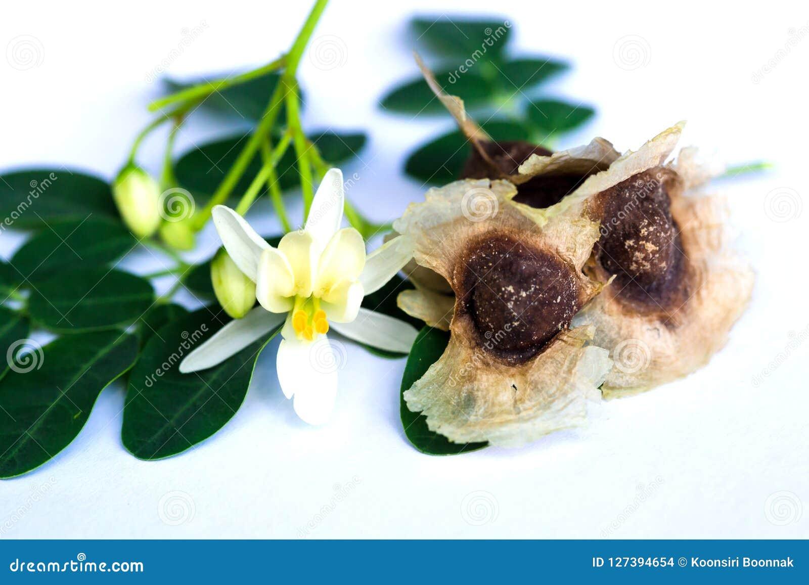Moringa oleifera sidor och blomma