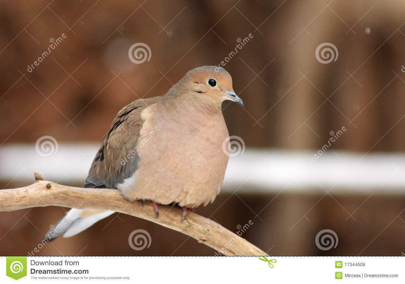 Morning Dove Royalty Free Stock Images - Image: 17344509