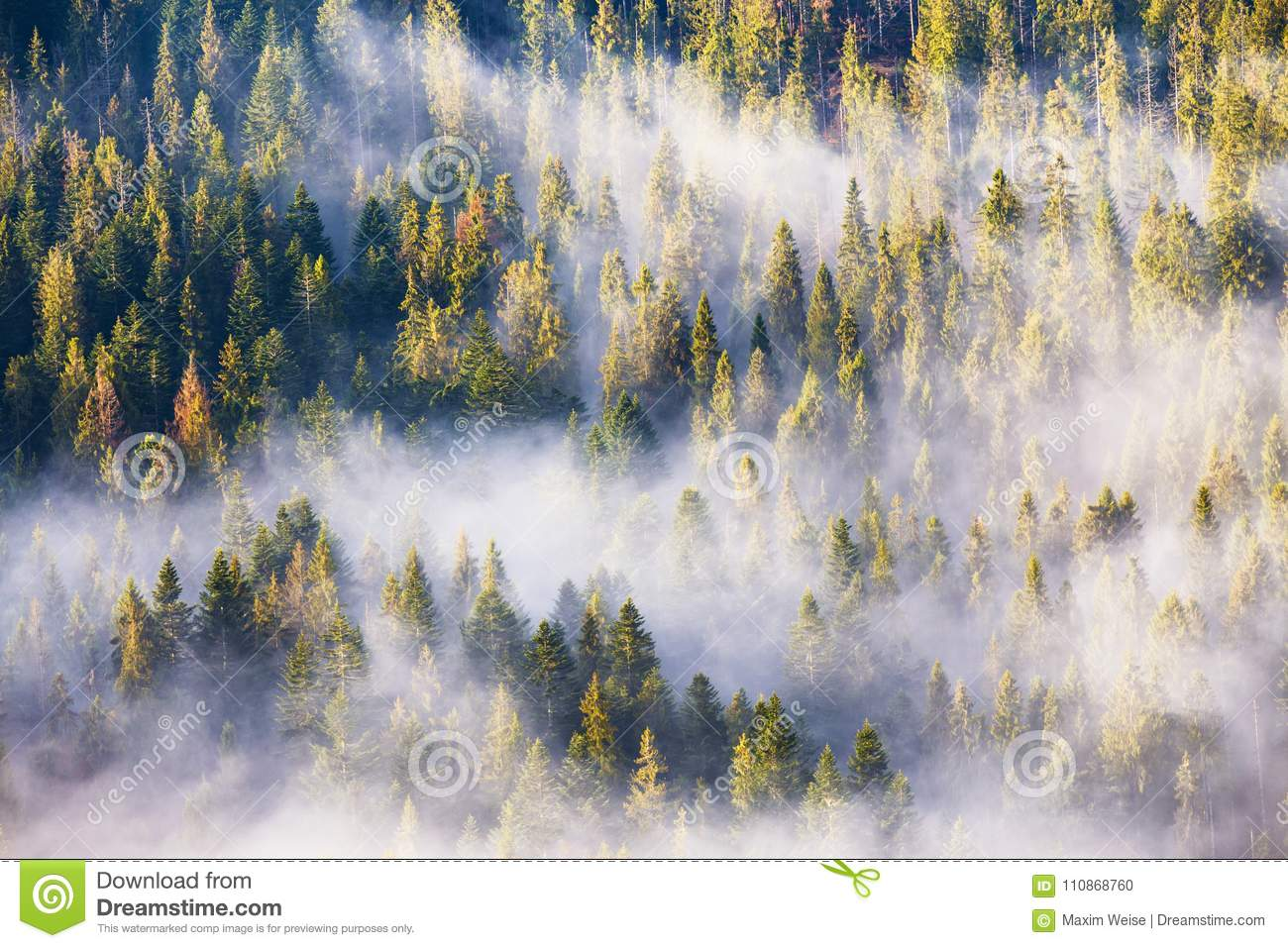 Morning fog in spruce and fir forest in warm sunlight