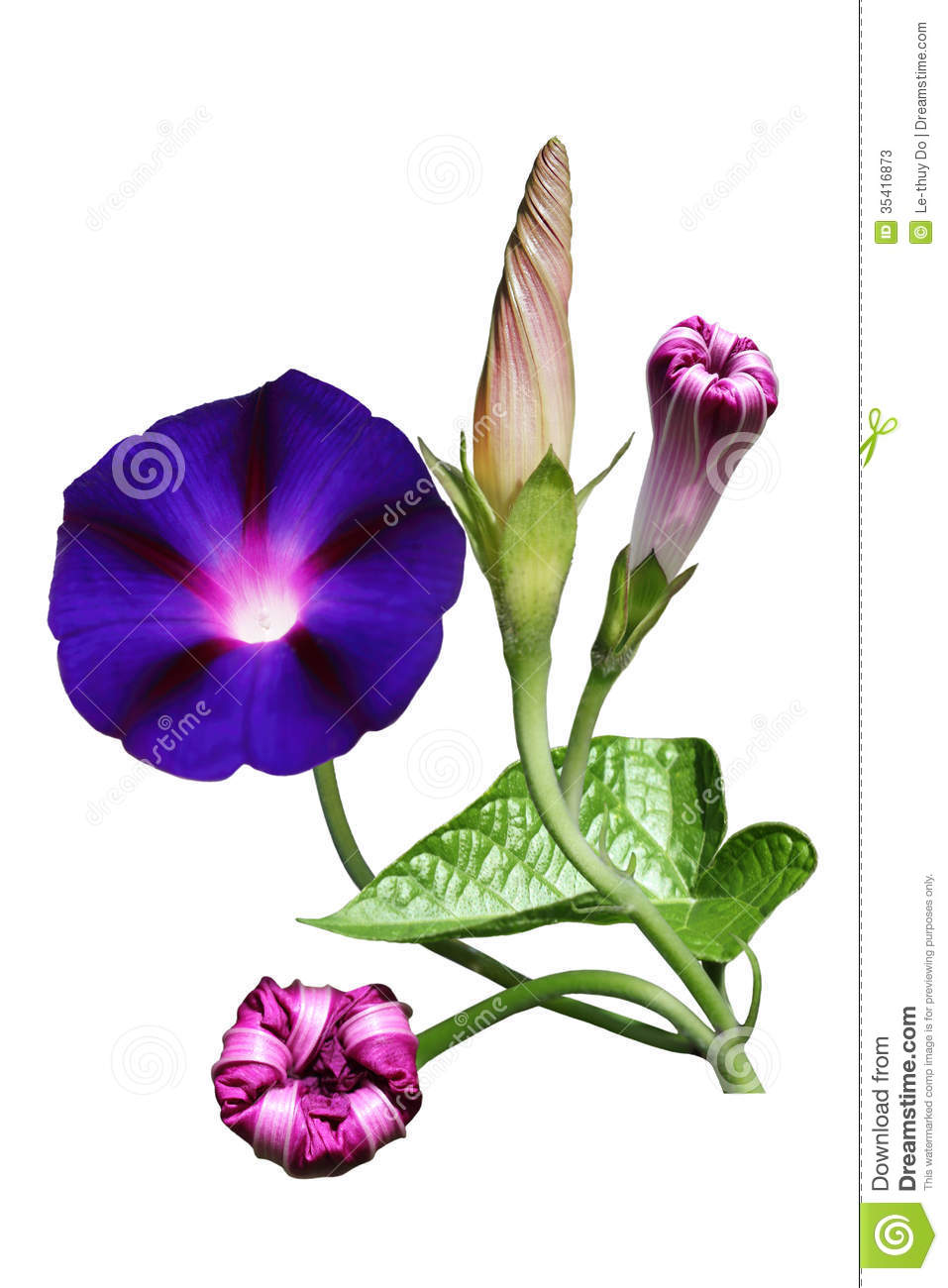 Morning Glory Flower Stock Image Image Of Floral Glory 35416873