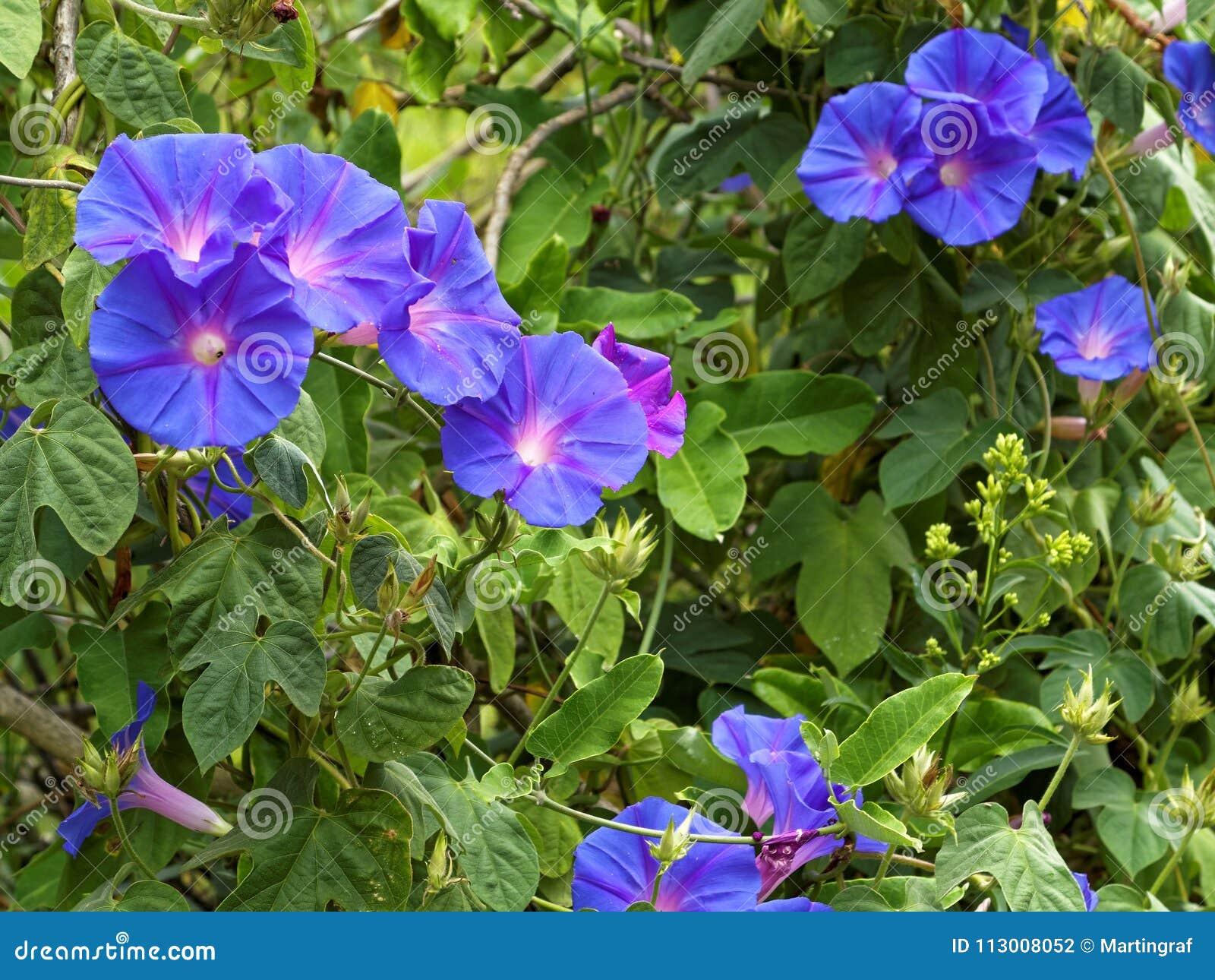 Morning glory flowering in green bush stock photo image of royalty free stock photo izmirmasajfo
