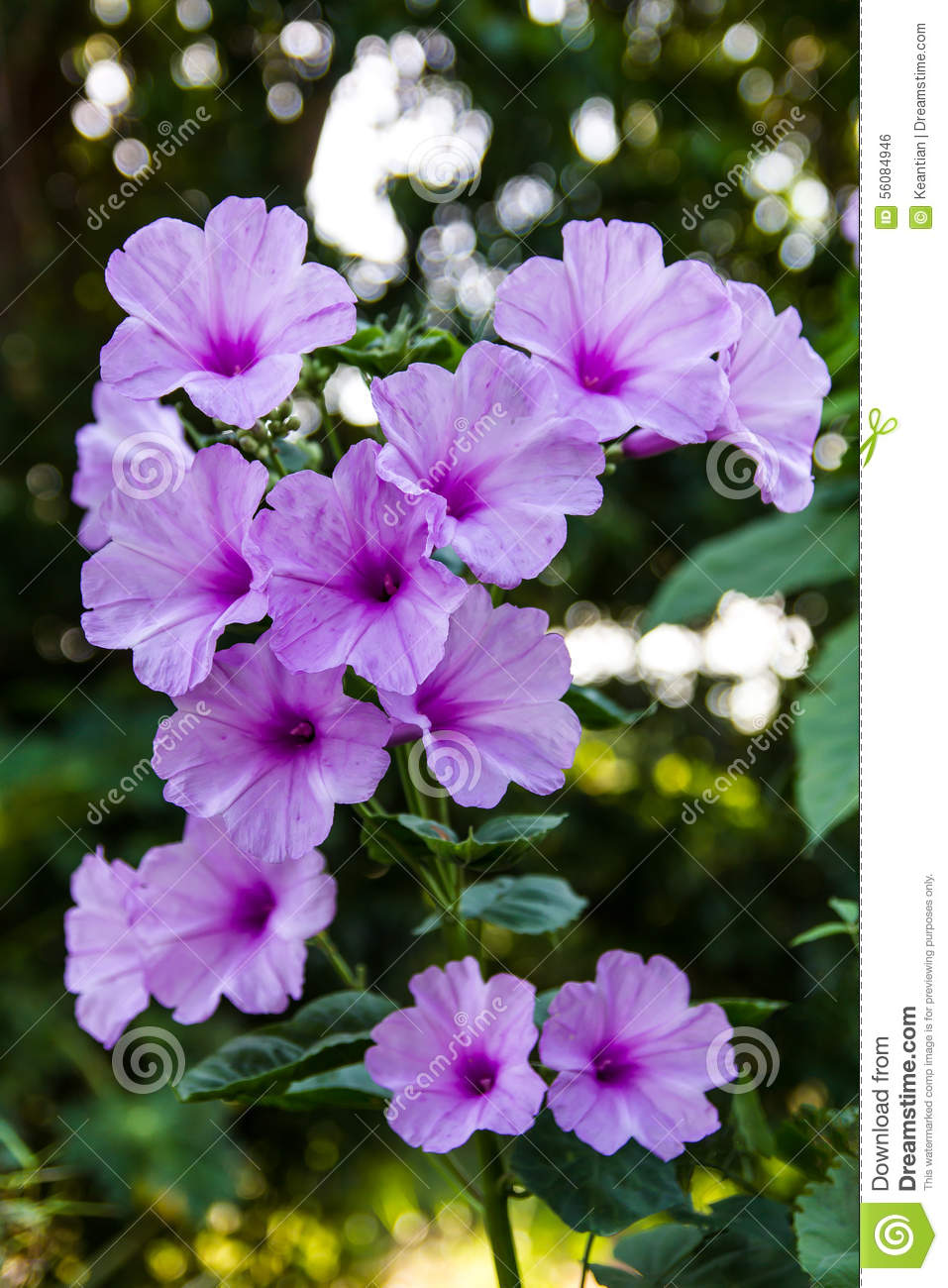 Morning Glory Flowers Bokeh Stock Photo Image Of Blooming Lots