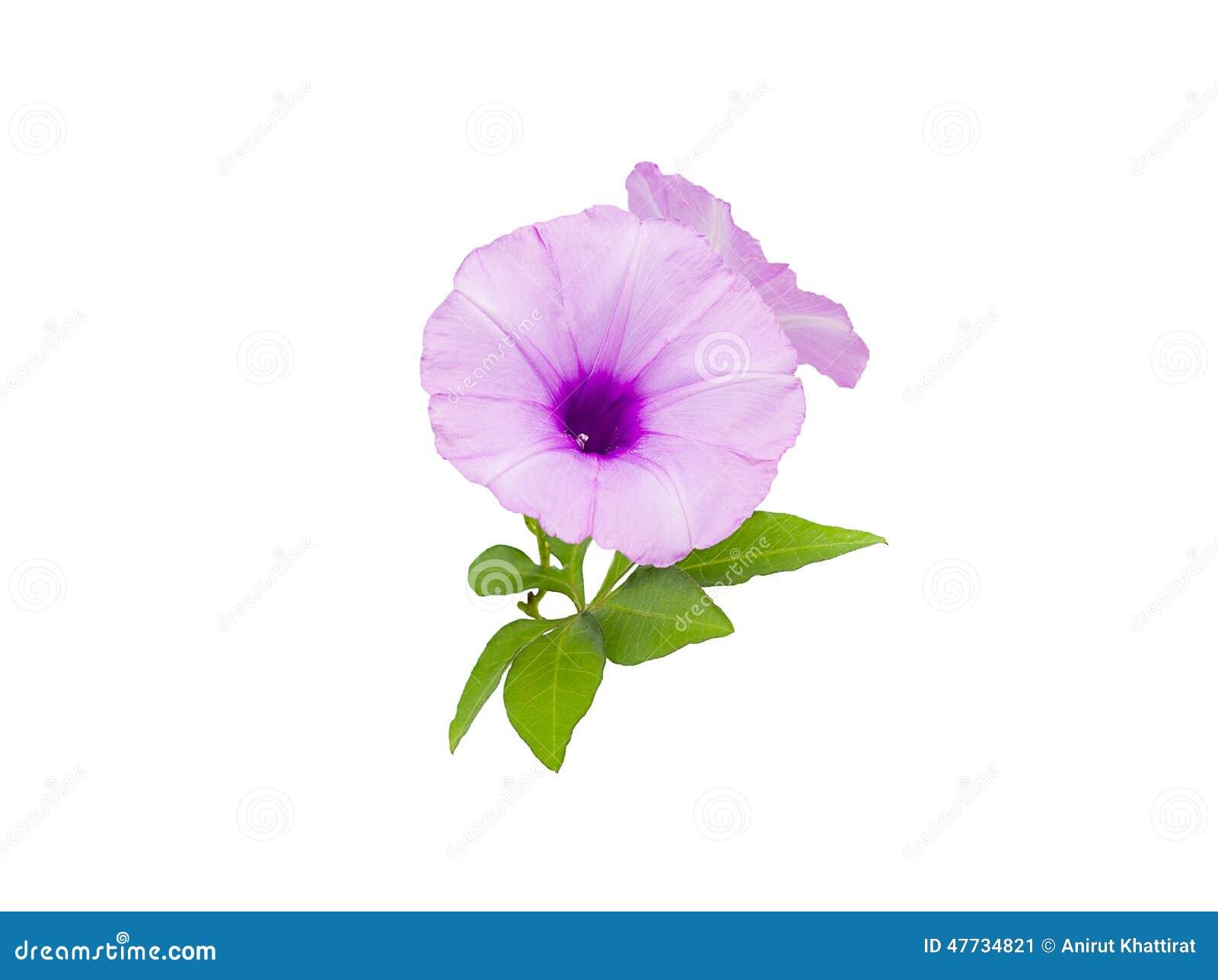 Morning Glory Flowers Stock Image Image Of Element Shape 47734821