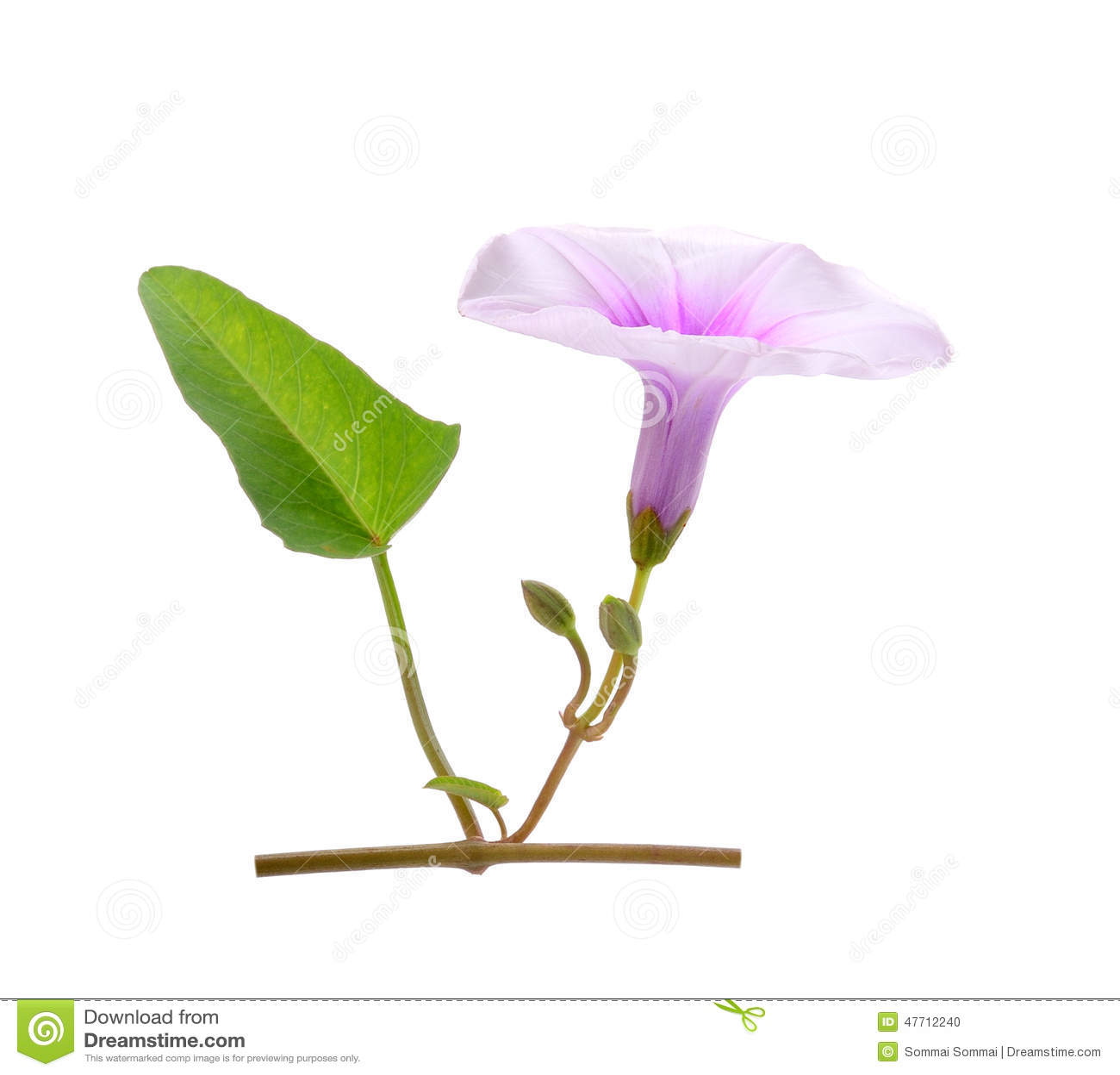 Morning Glory Flowers On White Background Stock Photo Image Of