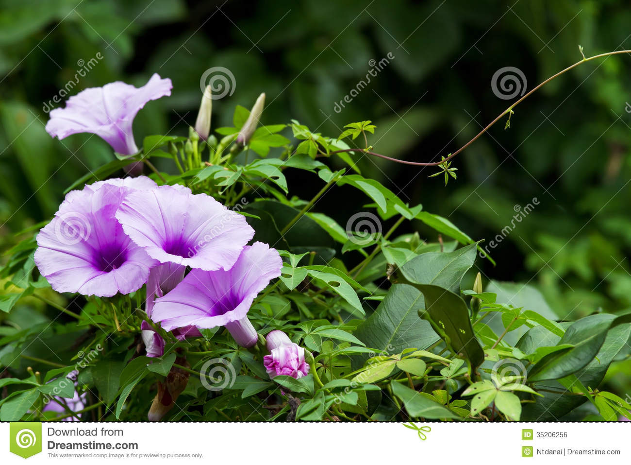 Morning Glory Royalty Free Stock Image Image 35206256