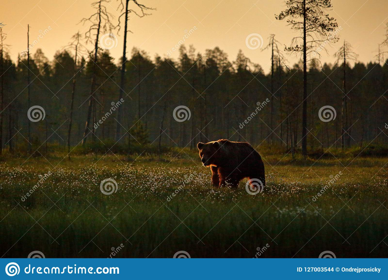 Morning light with big brown bear walking around lake in the morning light. Dangerous animal in nature forest and meadow habitat.