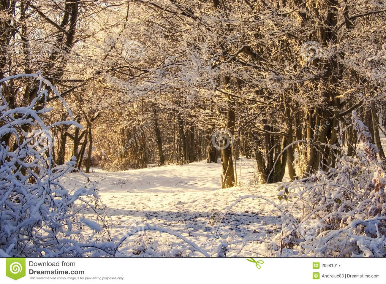 Winter scenery with morning light of the sunrise glowing on snow in a ...