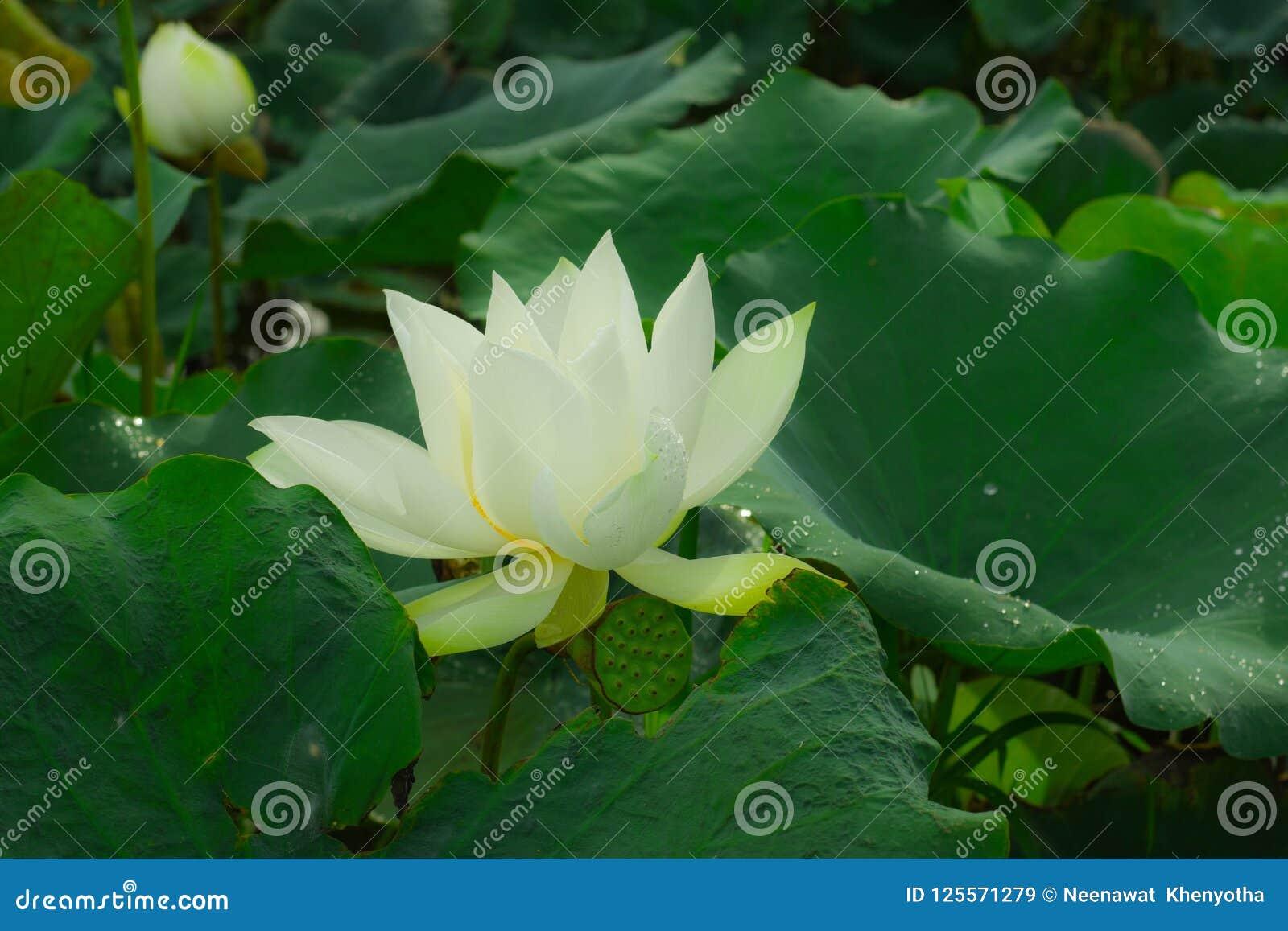 The Lotus Pool