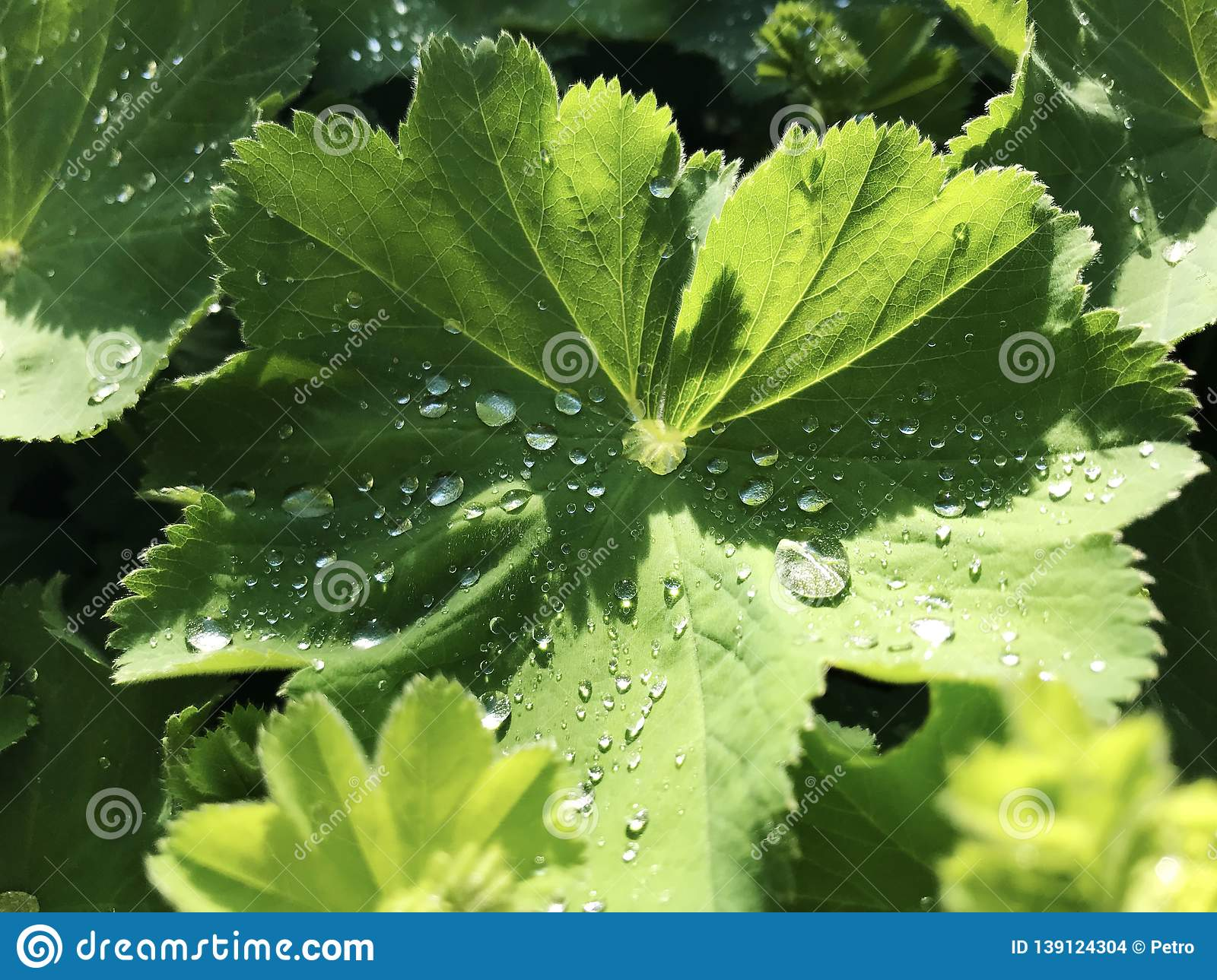 Morning dew drops on fresh green geranium leaves