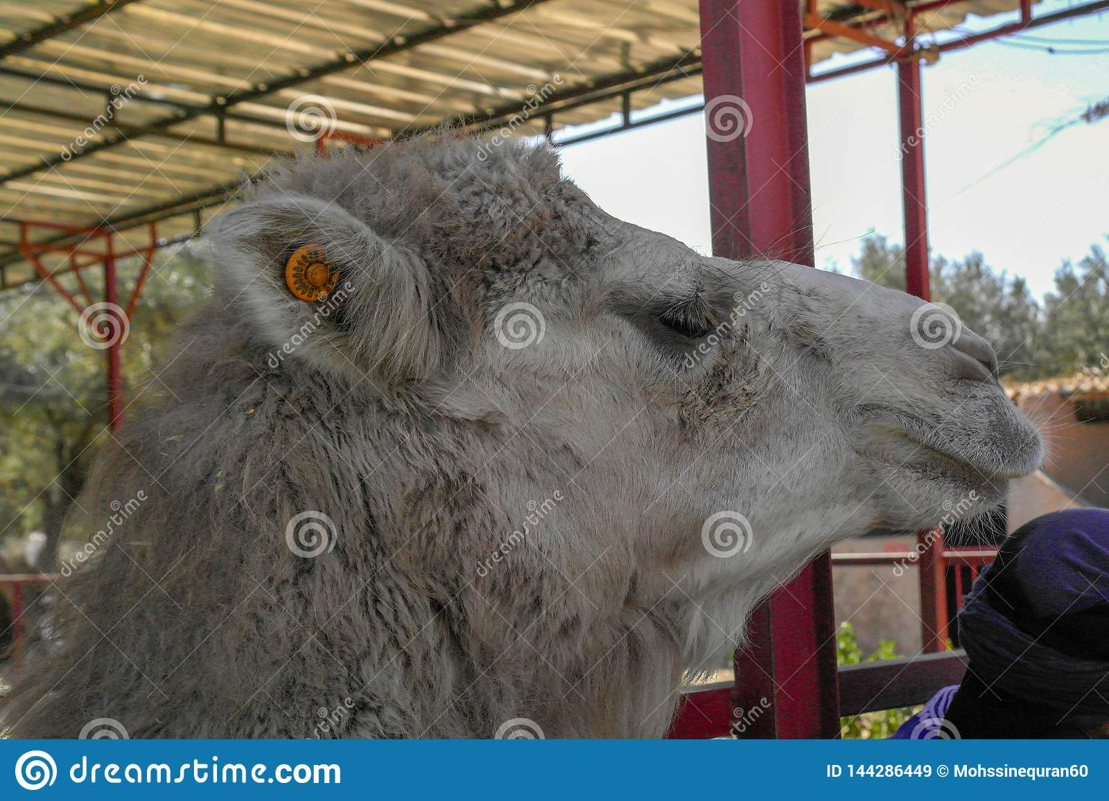 The Moroccan Camel
