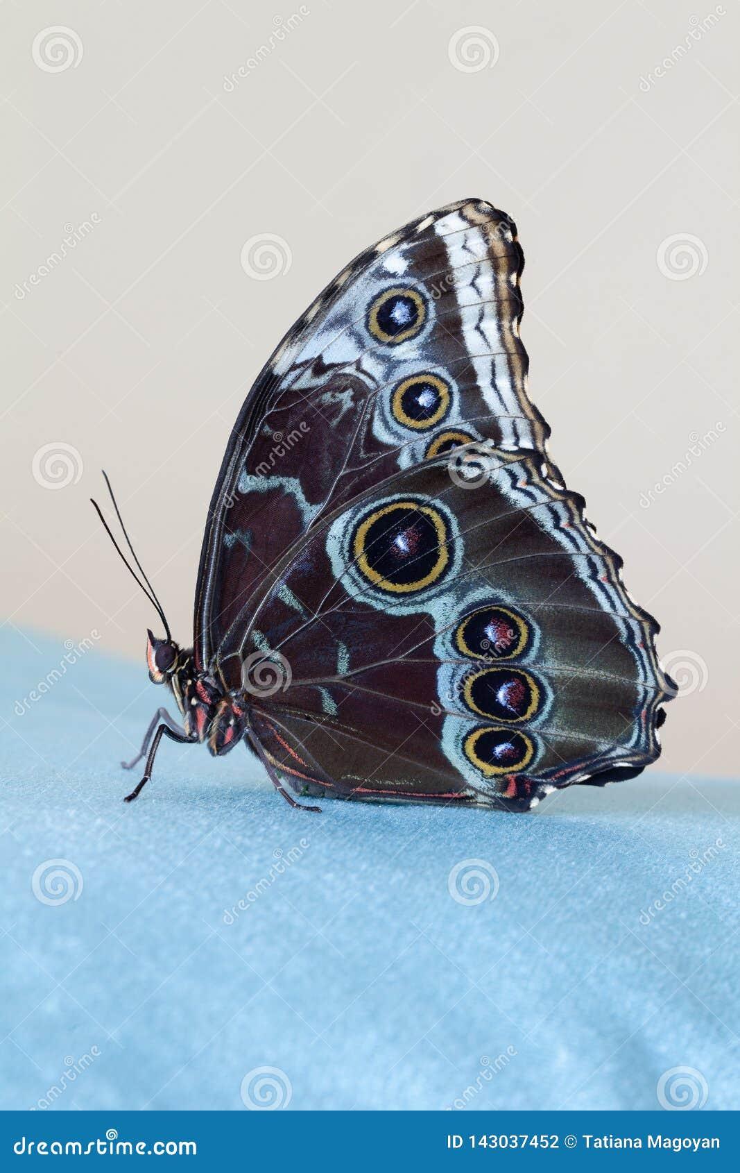 Morpho azul de la mariposa que se sienta en un paño azul del terciopelo, en un backgound beige primer Foto macra
