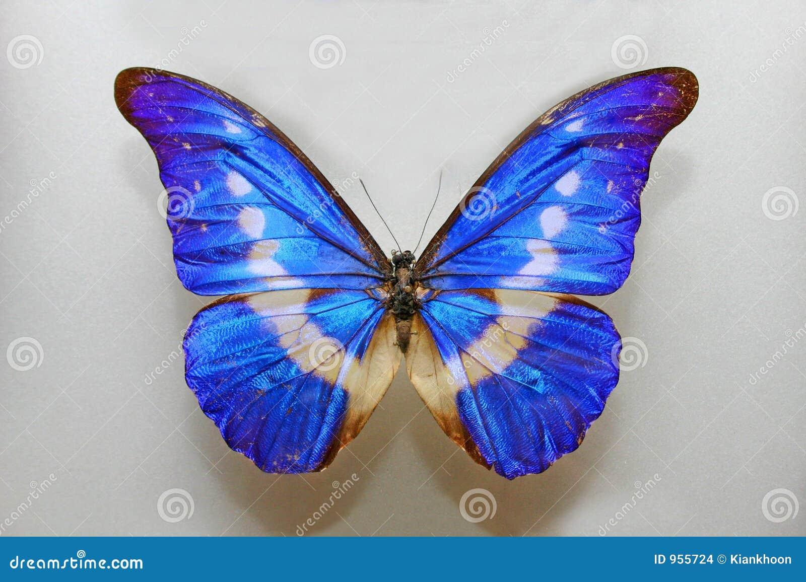 Morpho Helena Butterfly