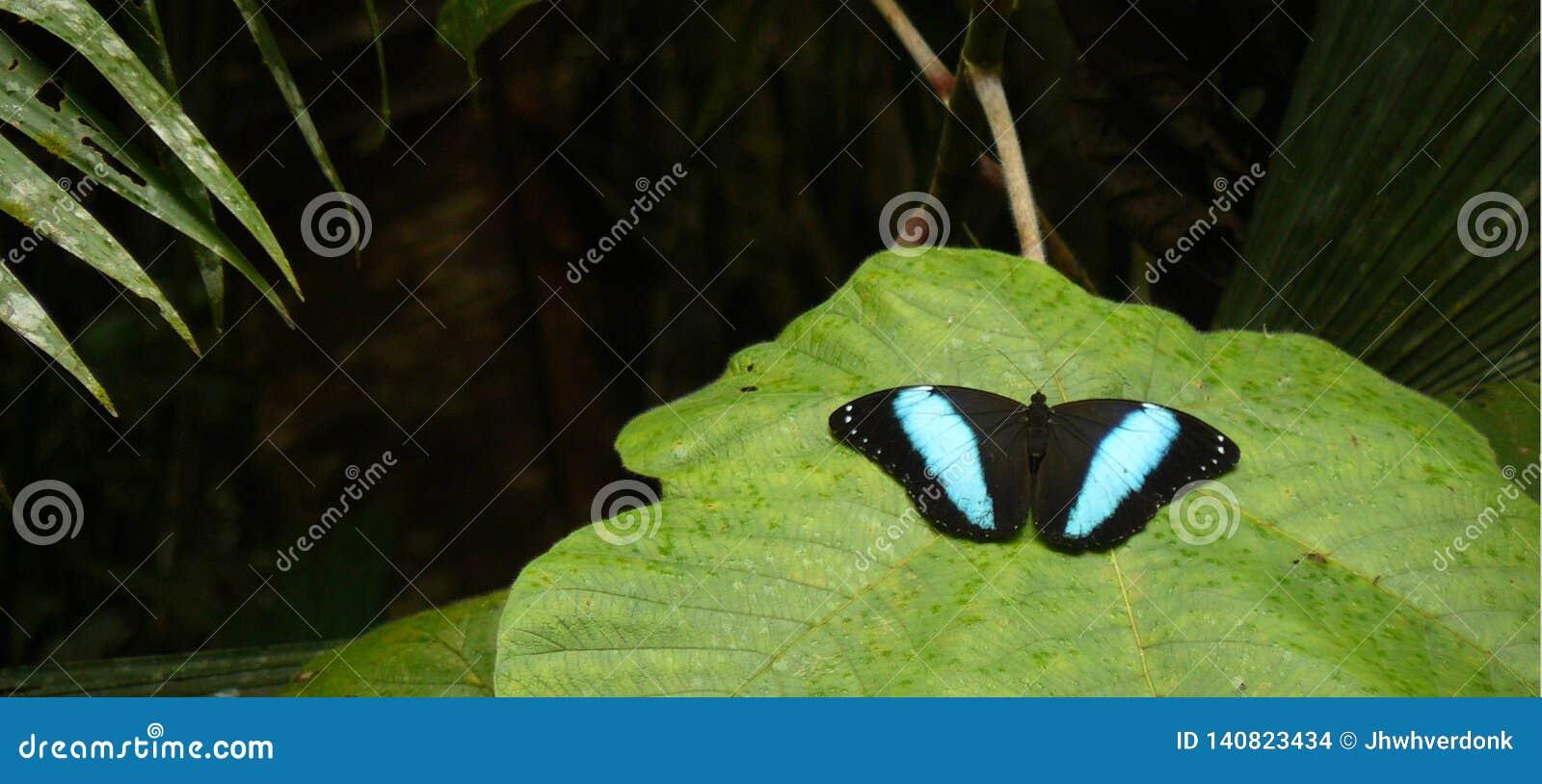 Morpho peleides ή μπλε morpho, ο πολύ μεγάλος Μαύρος με την μπλε πεταλούδα που βρίσκεται στο Αμαζόνιο