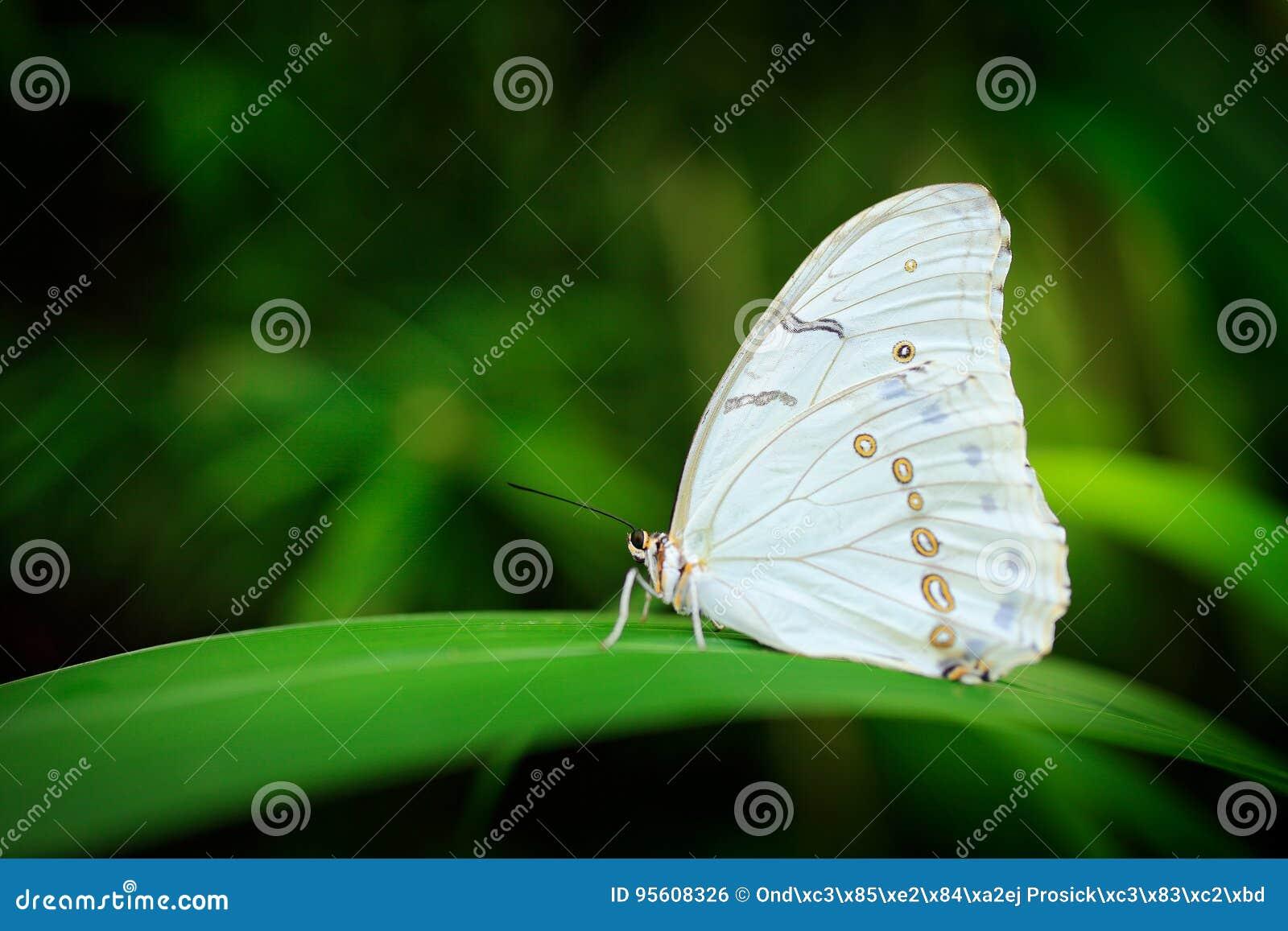 Morpho polyphemus, den vita morphoen, vit fjäril av Mexico och Central America Stor vit fjäril som sitter på gröna sidor,