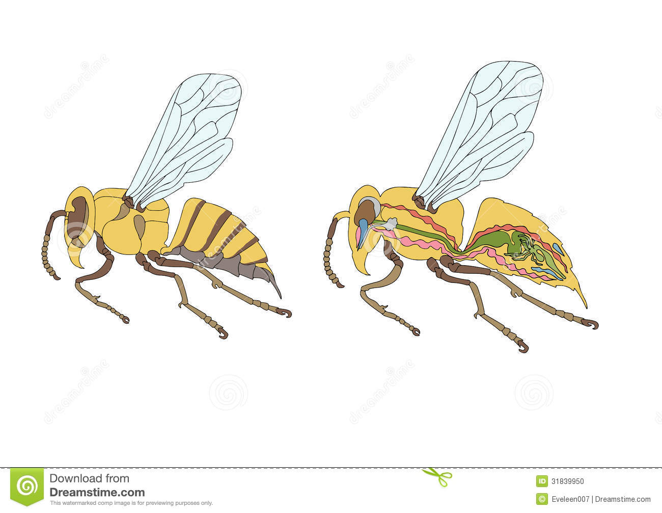 Morphology, Cross-section Of Bee Stock Vector - Illustration of ...