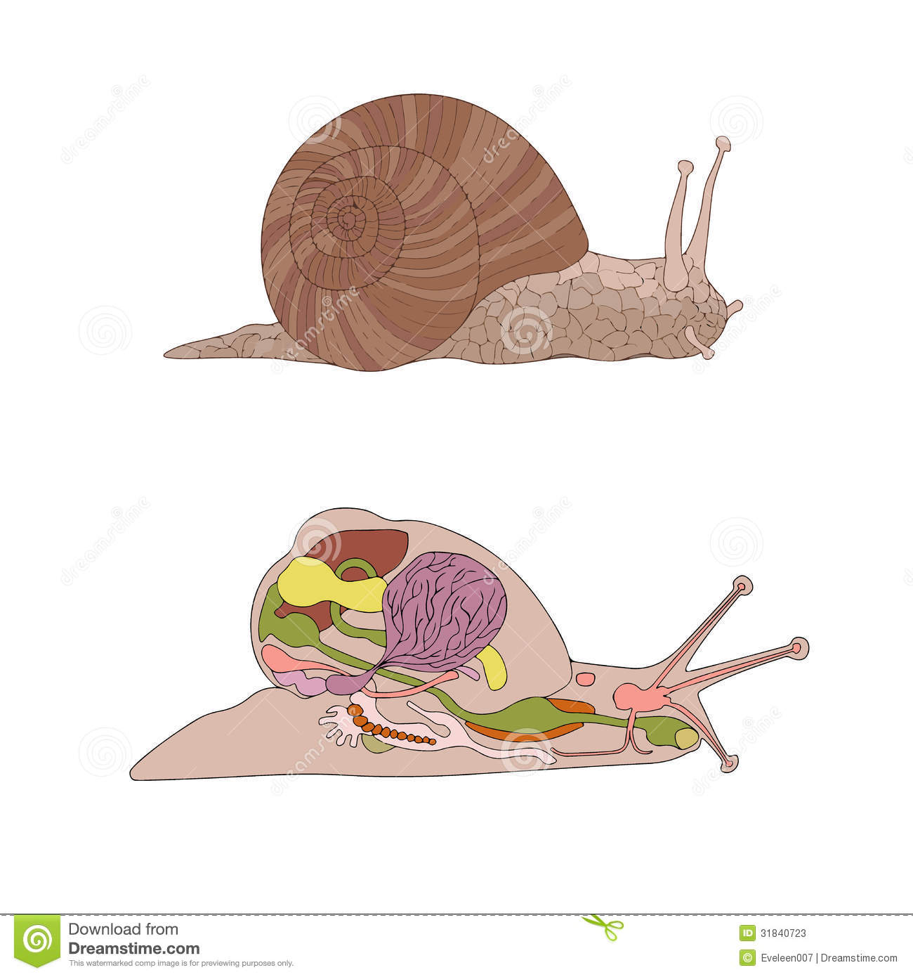 Morphology, Cross-section Of Snail Stock Vector - Illustration of ...