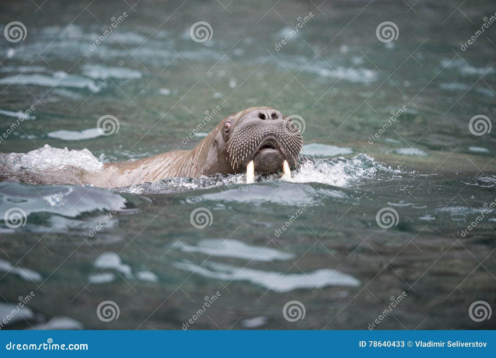 Morse dans l eau