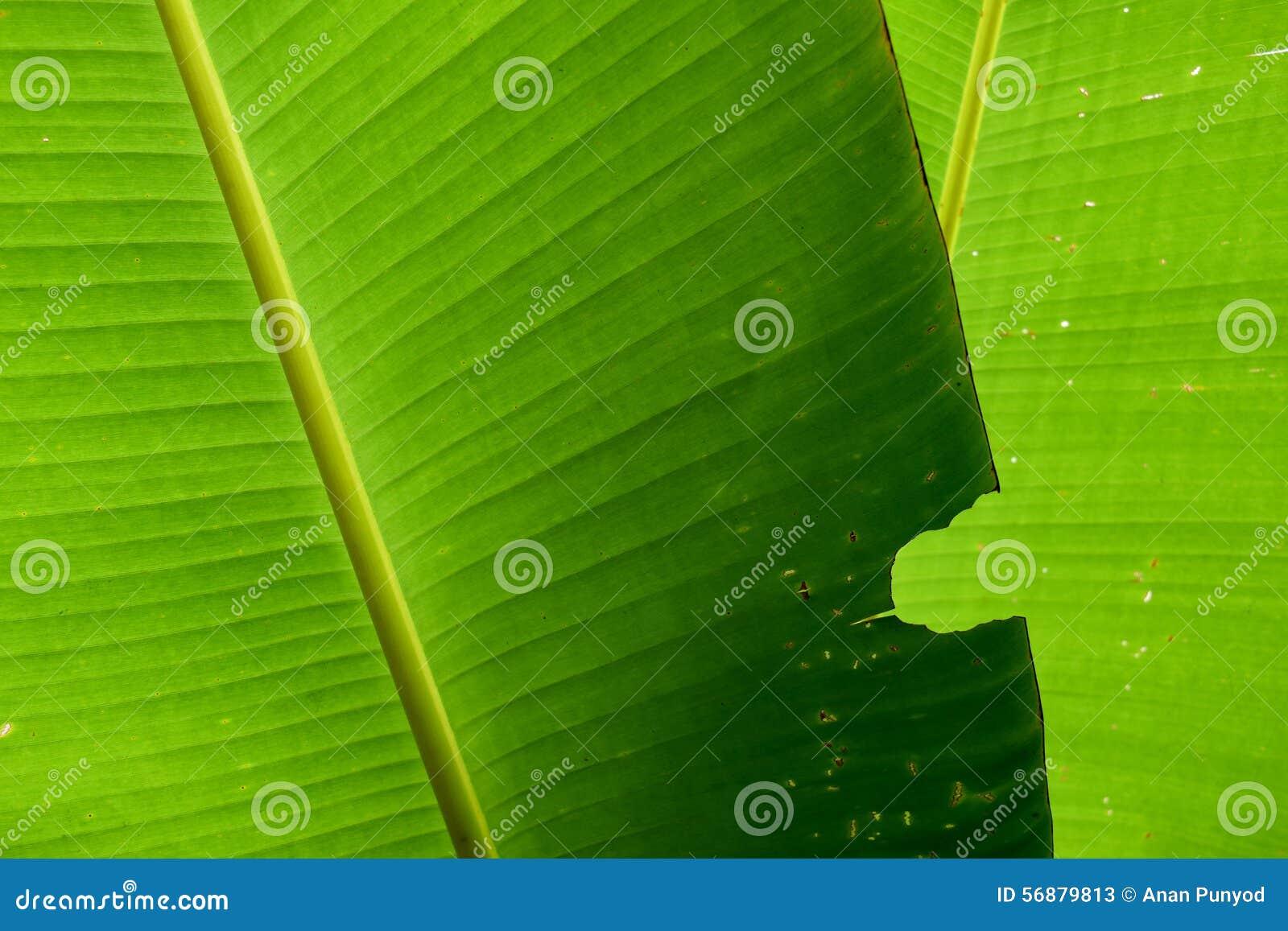 Morsi di insetto verdi della foglia della banana della natura per fondo