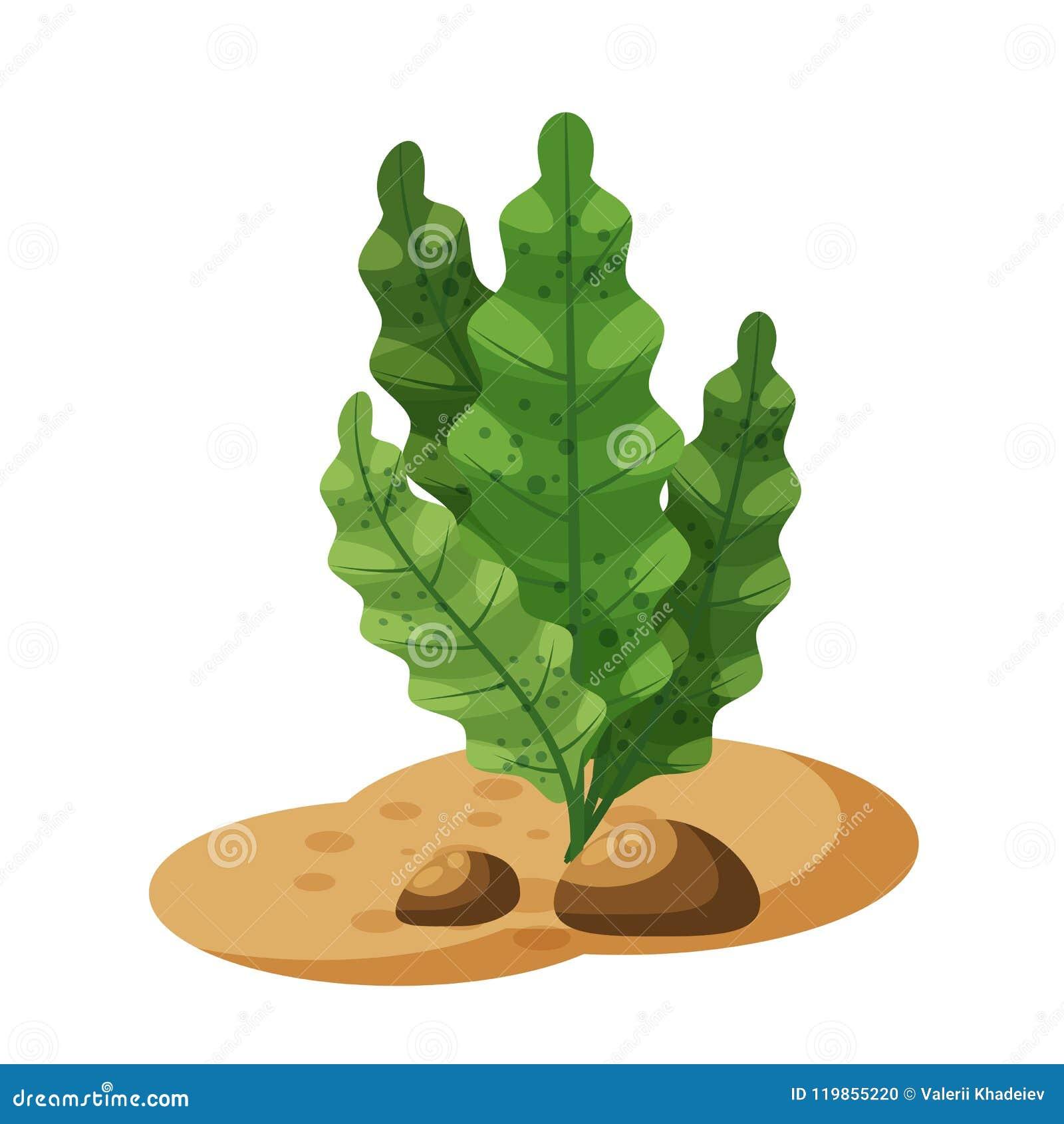 Morska zielonych alg gałęzatka, zasadza podwodnego, odosobniony na białym tle, wektor, kreskówka styl