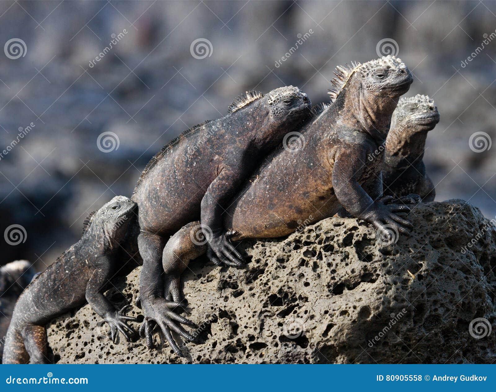 Morskie iguany siedzą na skałach wyspy galapagos ocean spokojny Ekwador