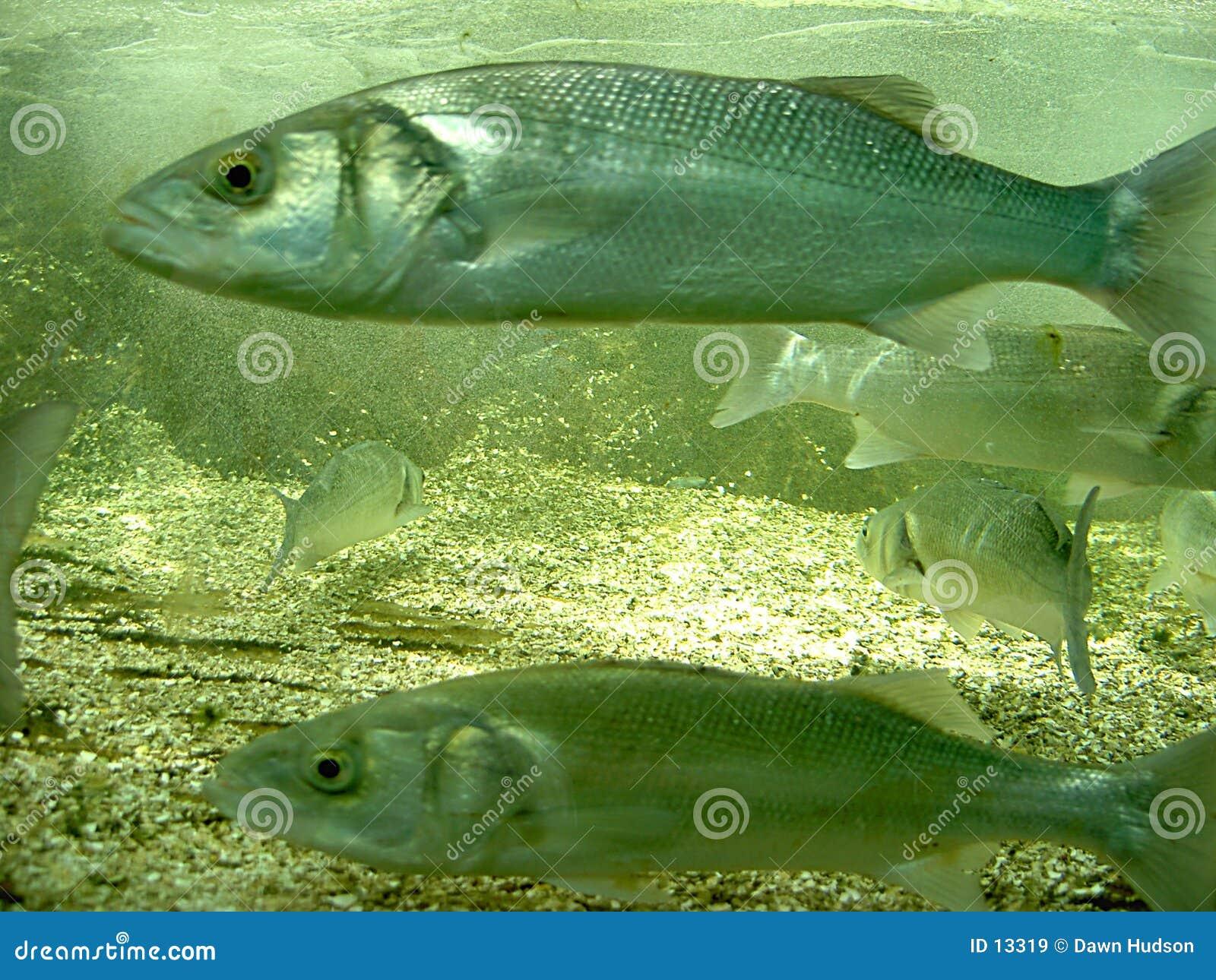 Morze bass