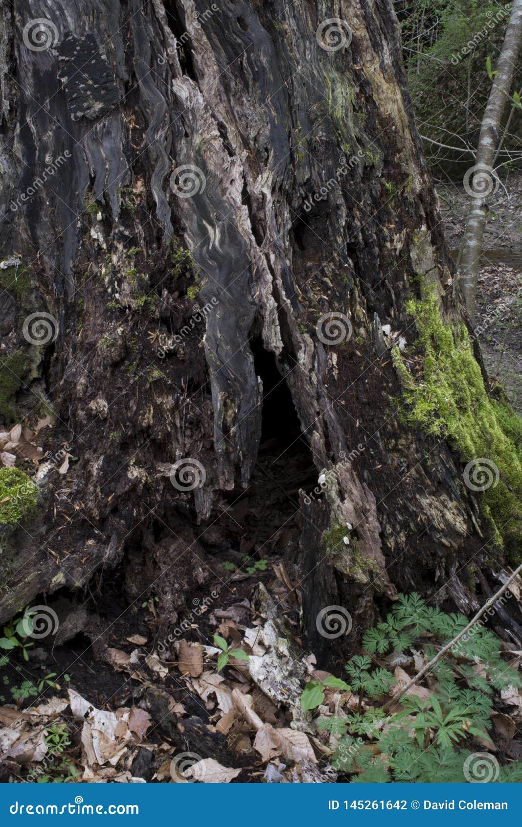 Mos behandelde boomstomp in bos