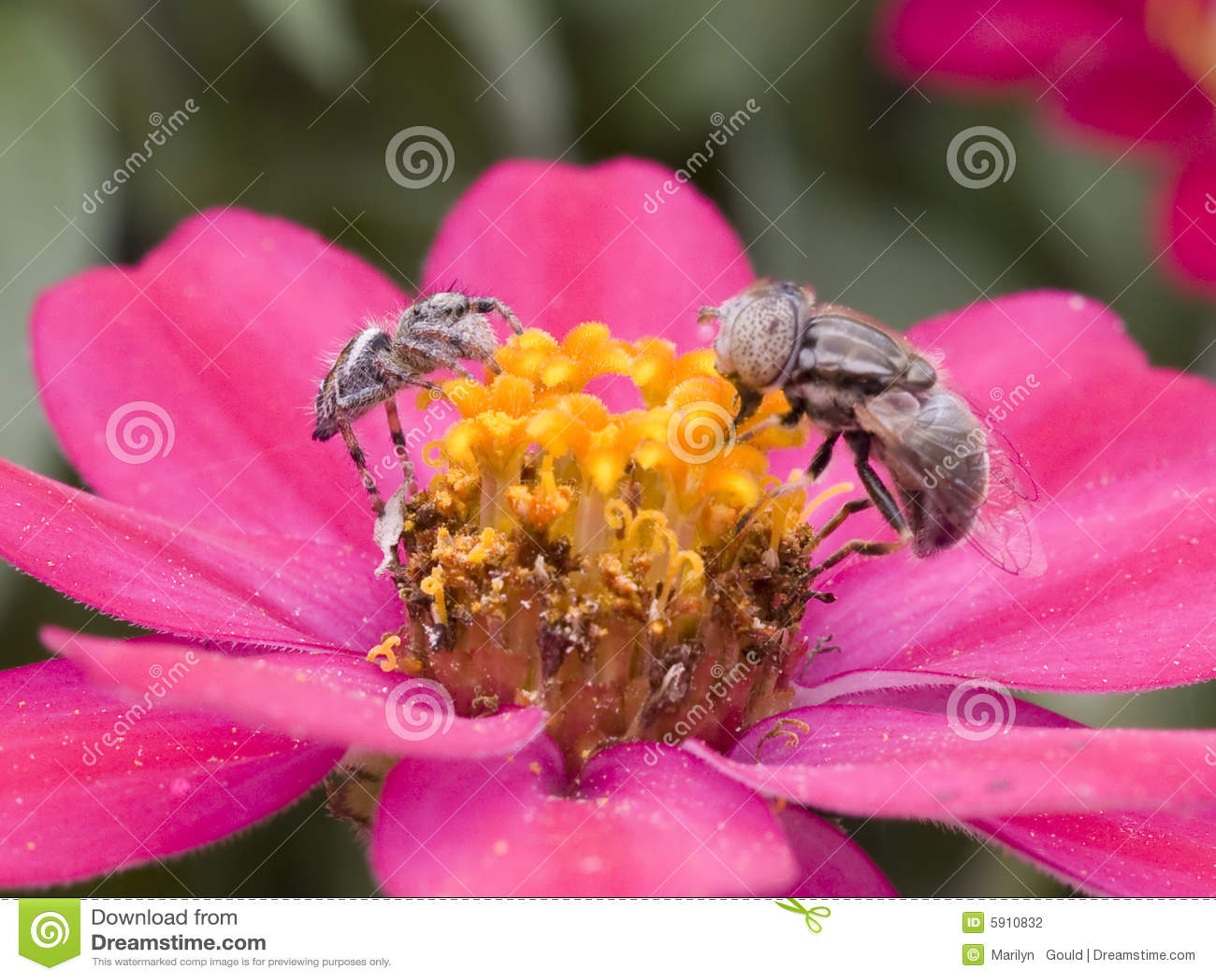 Mosca d inseguimento del ragno