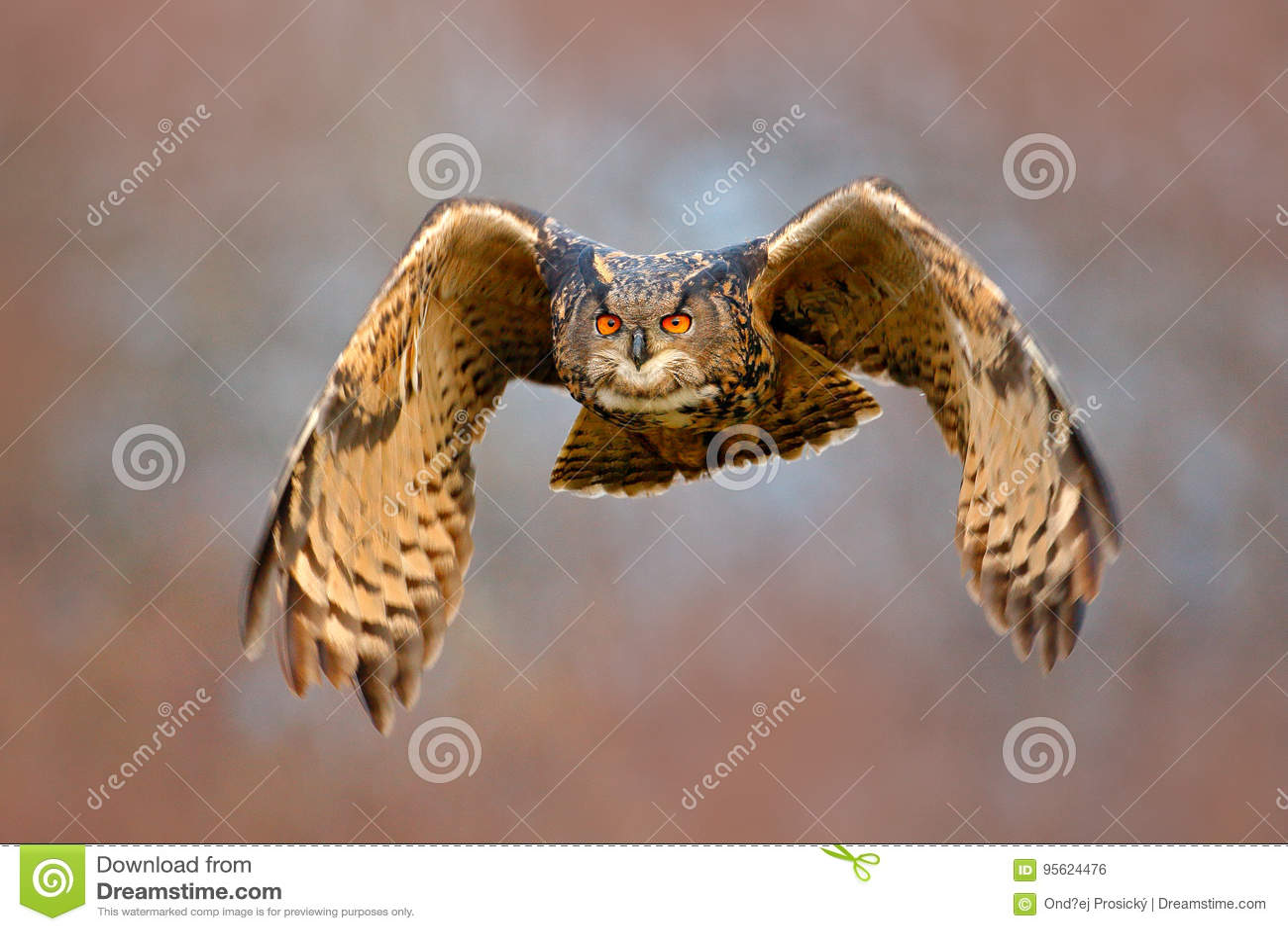 Mosca de cara da coruja Coruja de Eagle do eurasian do voo com as asas abertas com o floco da neve na floresta nevado durante o i