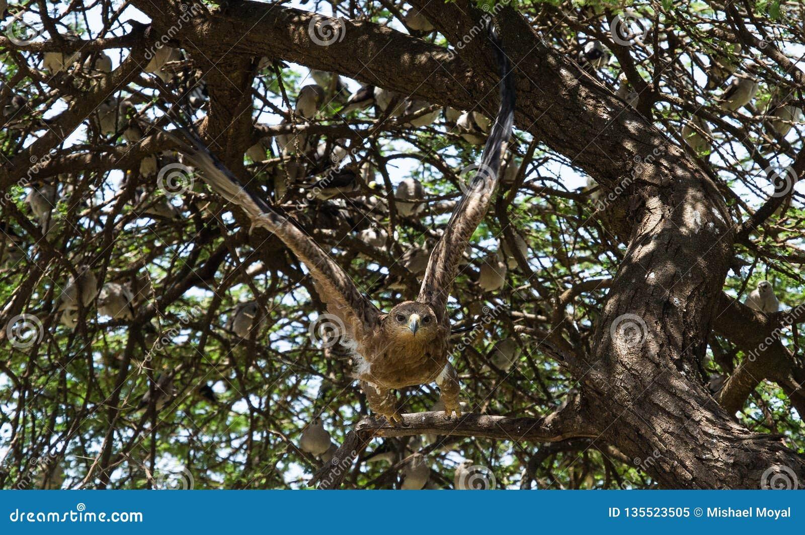 Mosca del águila de oro de un árbol en África