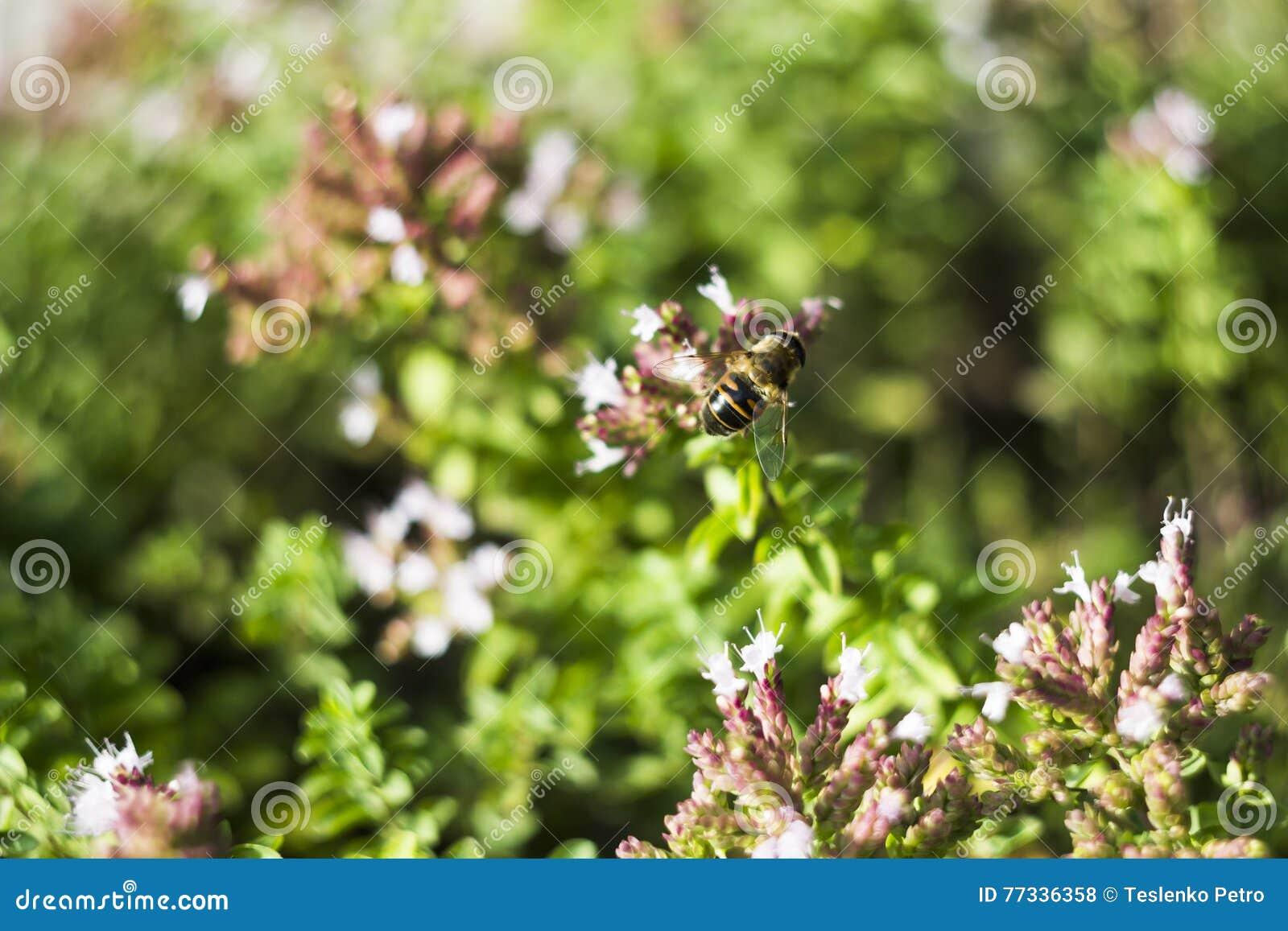 Mosca del abejón y x28; Tenax& x29 de Eristalis; en la flor