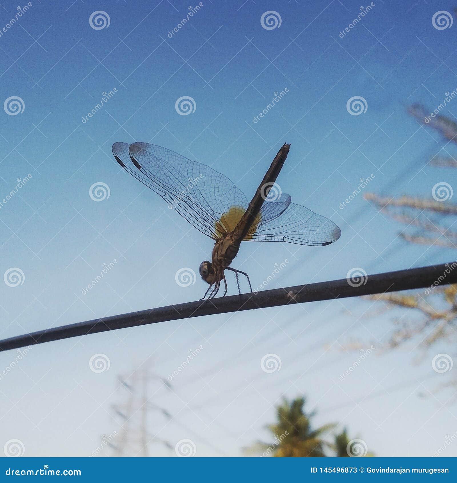 Mosca del dragón que se sienta en el tiro macro de la cuerda