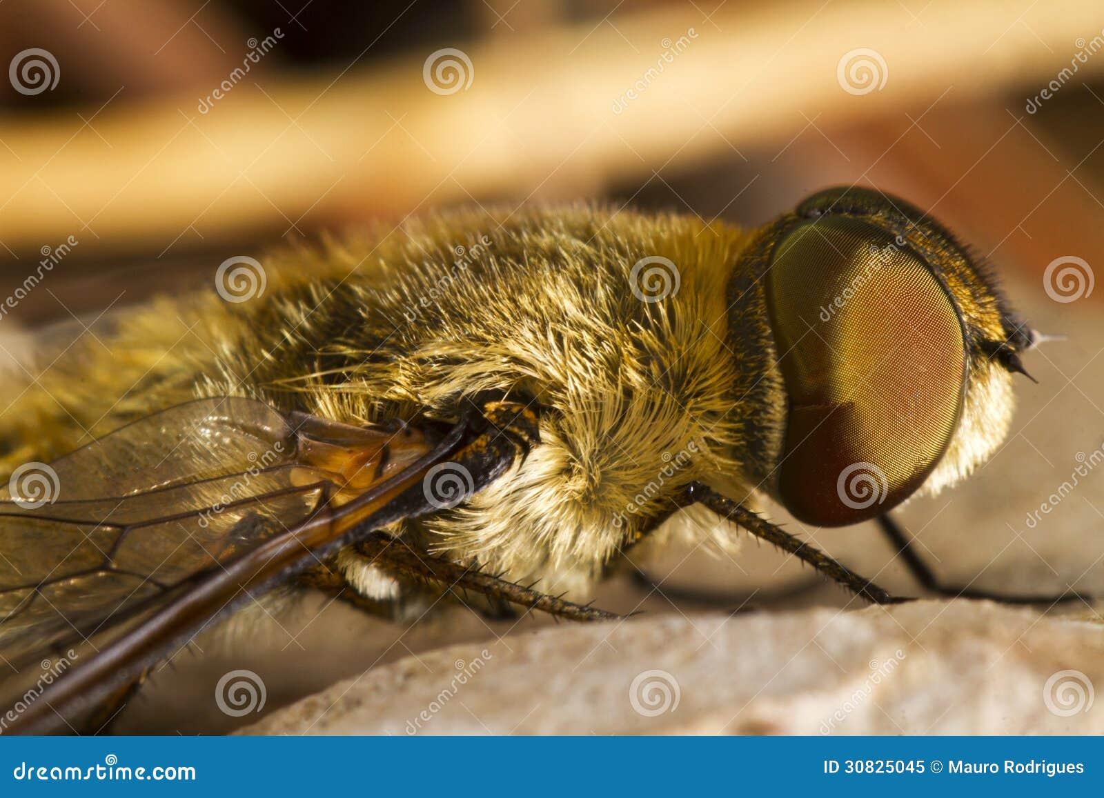 Mosca di ape (hottentotta della villa)