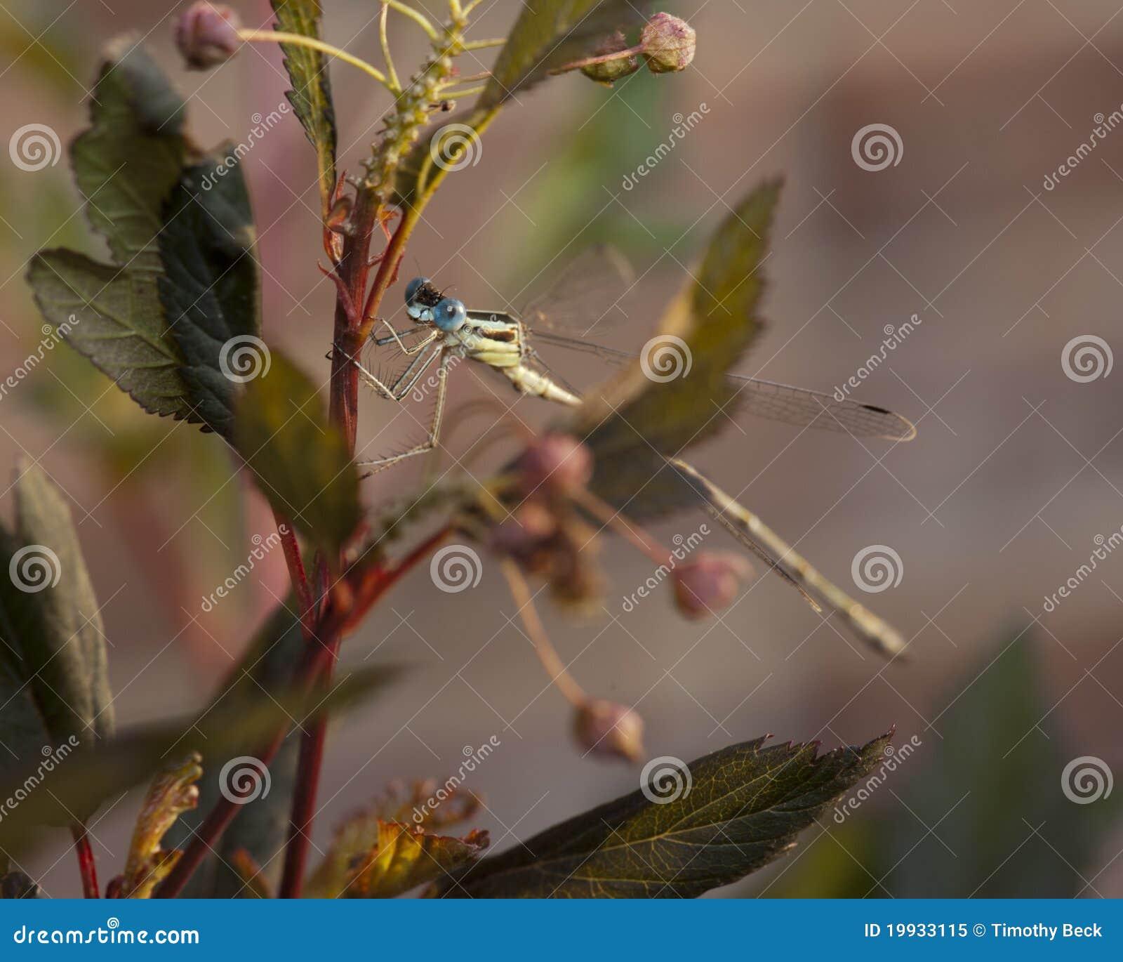 A mosca do Damsel empoleirou-se em uma planta de nove cascas